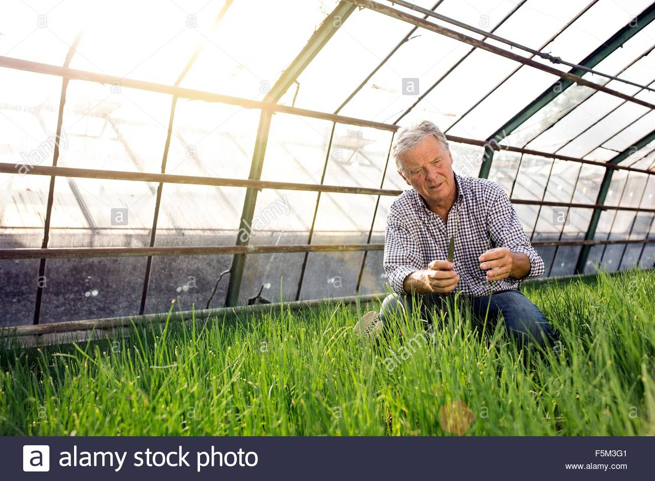 Senior man in hothouse checking quality of plants - Stock Image