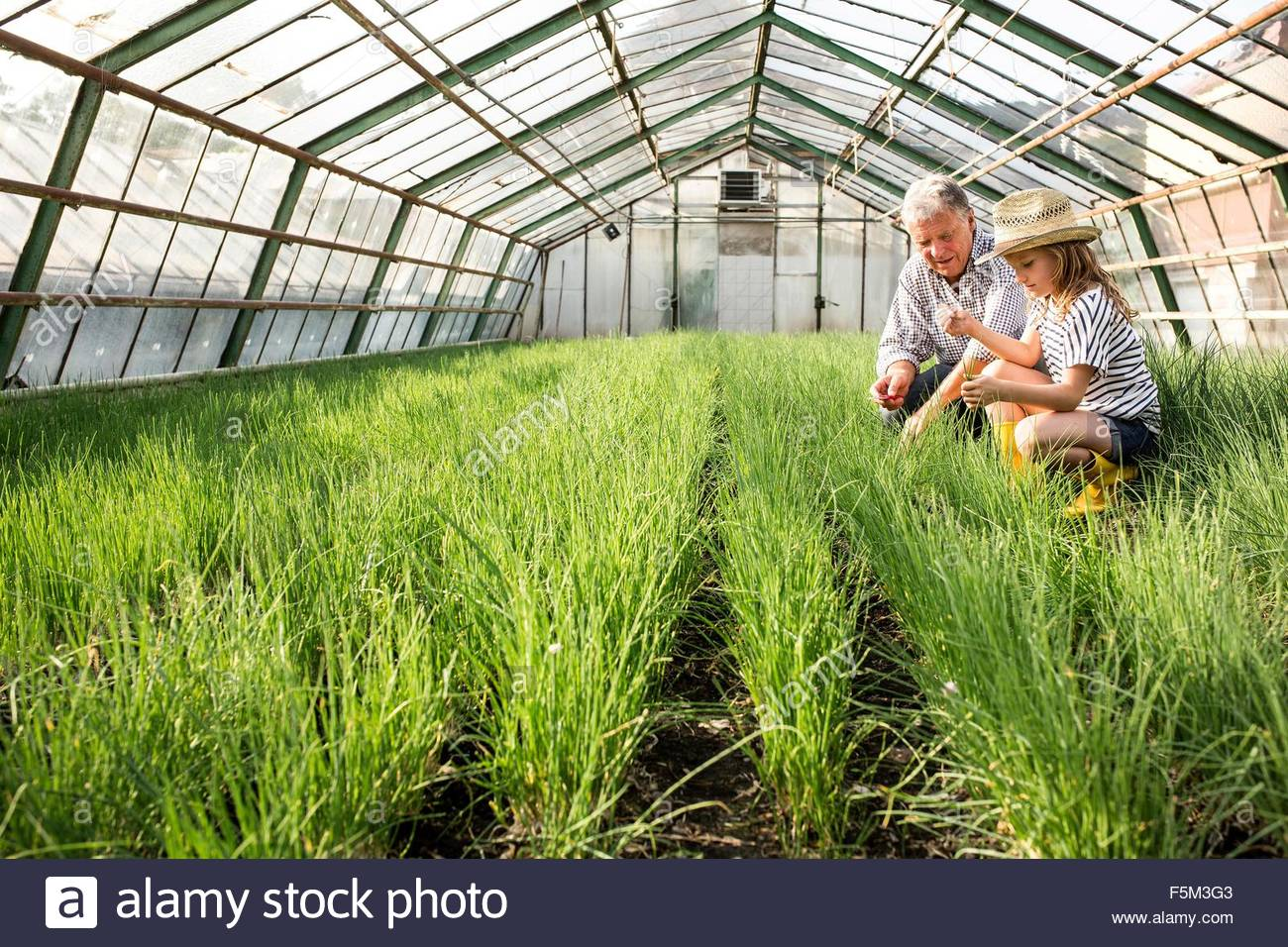 Grandfather and granddaughter in hothouse checking quality of chive plants - Stock Image