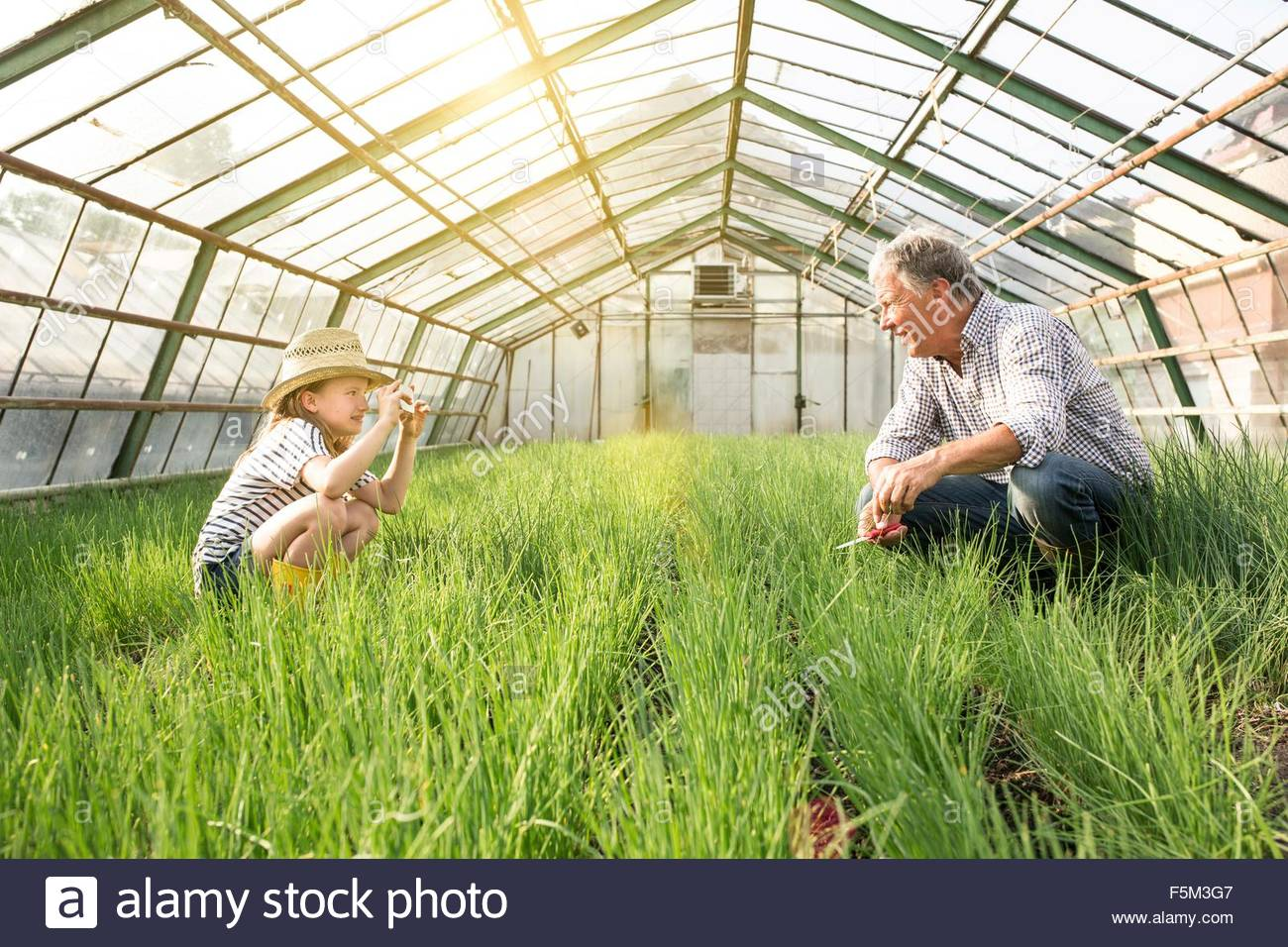 Granddaughter using smartphone to take photograph of grandfather in hothouse full of chives - Stock Image