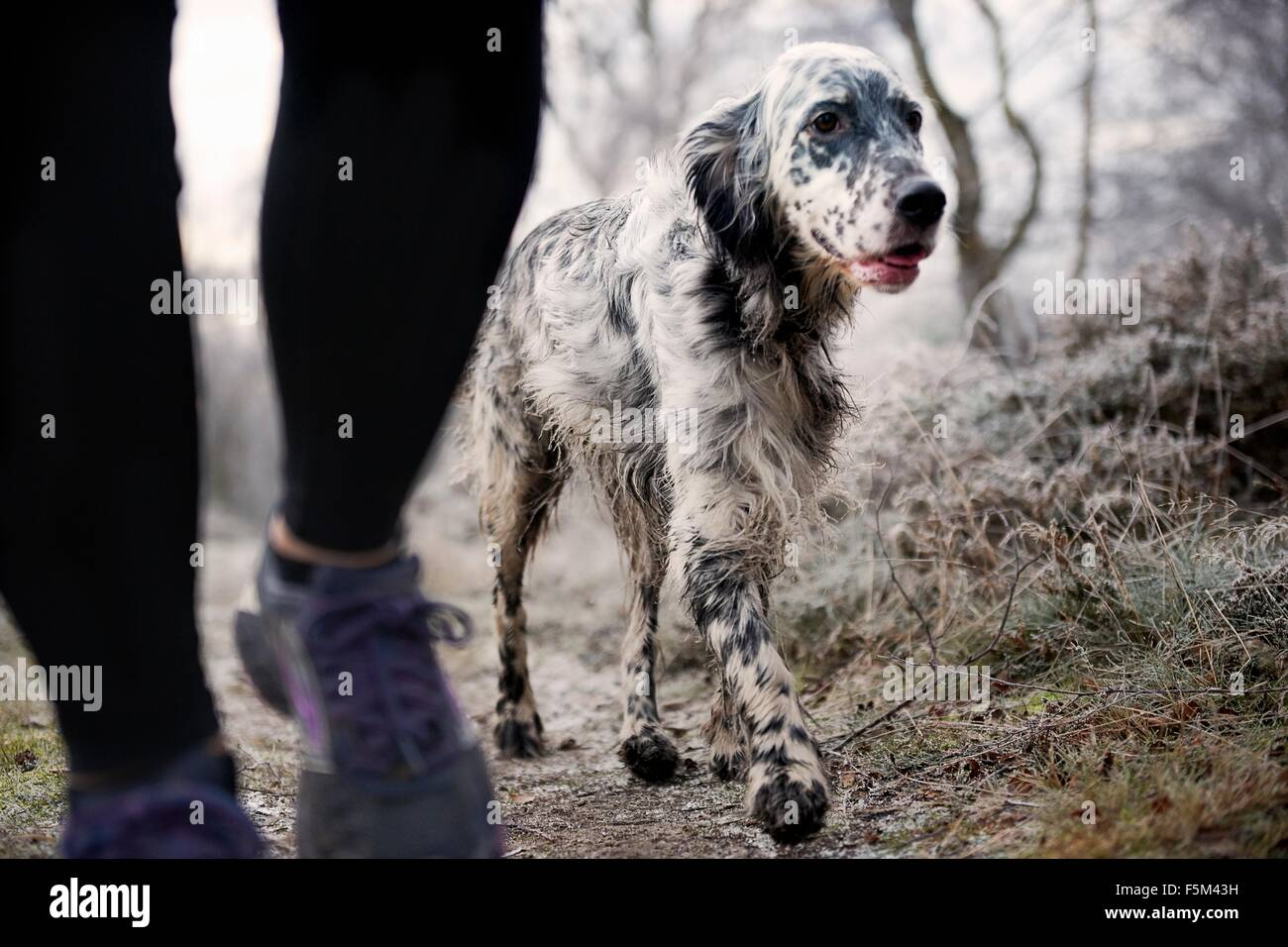 Legs of mid adult woman walking dog on frosty path - Stock Image