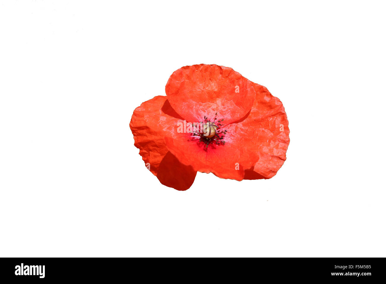 Common red poppy, Papaver rhoeas, isolated on a white background that could be used in connection with a remembrance - Stock Image