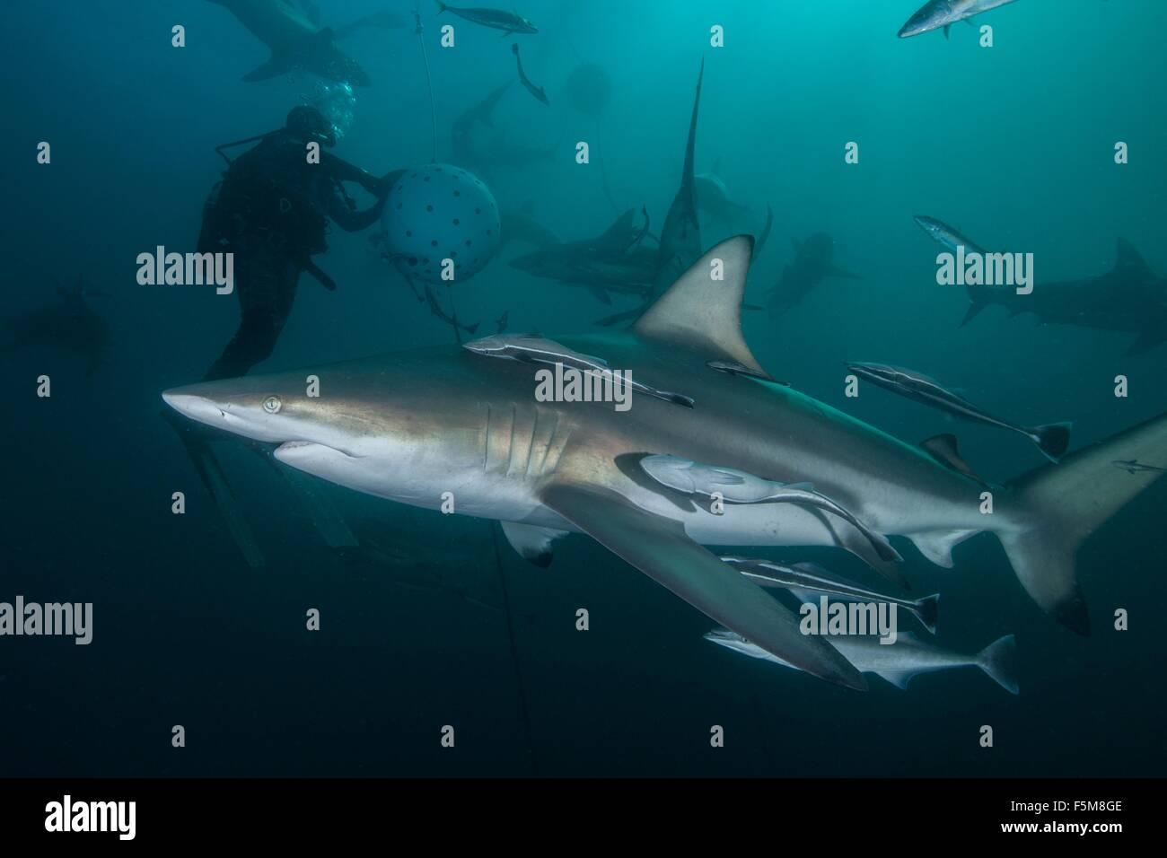 Diver and Oceanic Blacktip sharks (carcharhinus limbatus) gathering at Aliwal Shoal, Durban, South Africa - Stock Image
