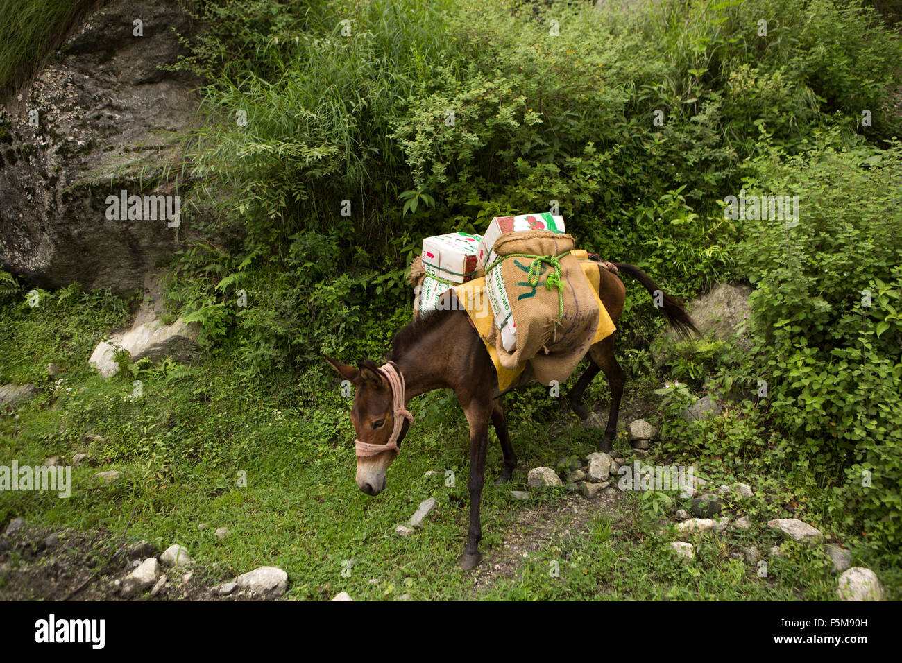 India, Himachal Pradesh, Shimla, pack horse bringing crop of apples from orchard to the road - Stock Image