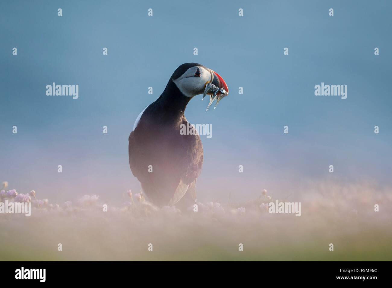 Atlantic puffin (fratercula arctica) sand eels in beak, Fair Isle, Shetland, United Kingdom - Stock Image