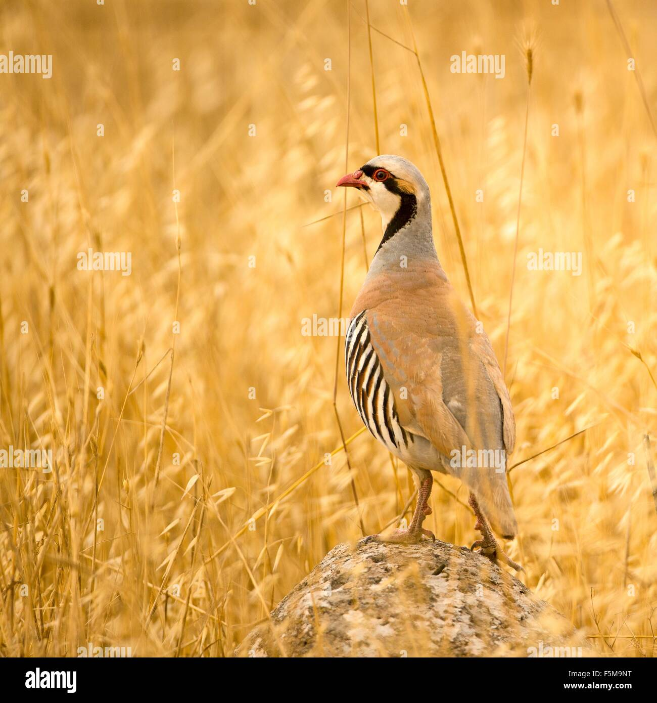 Chukar Partridge (Alectoris Chukar), Israel - Stock Image