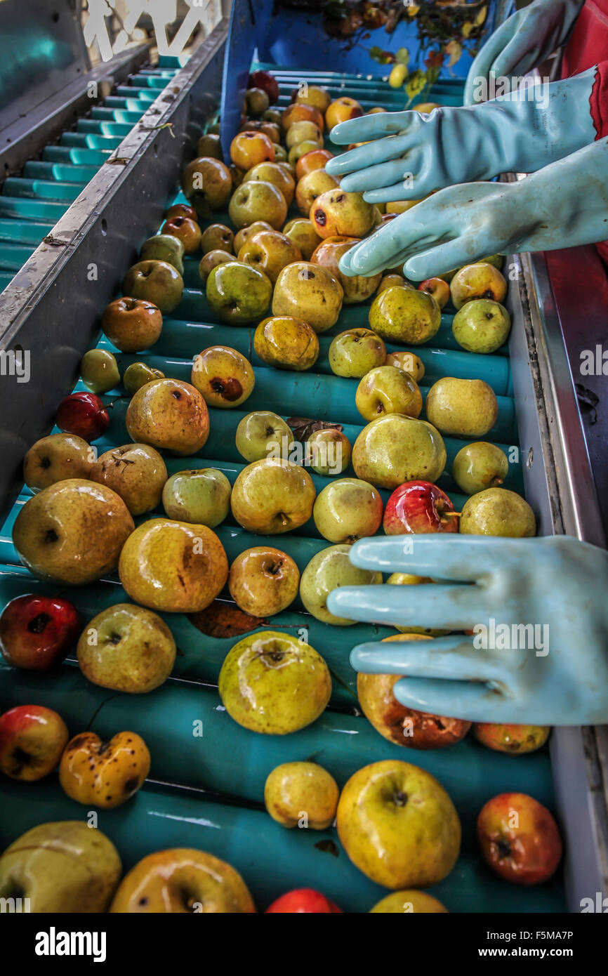 Aviré (north-western France): production of organic apple juice at the orchard of La Hanère - Stock Image