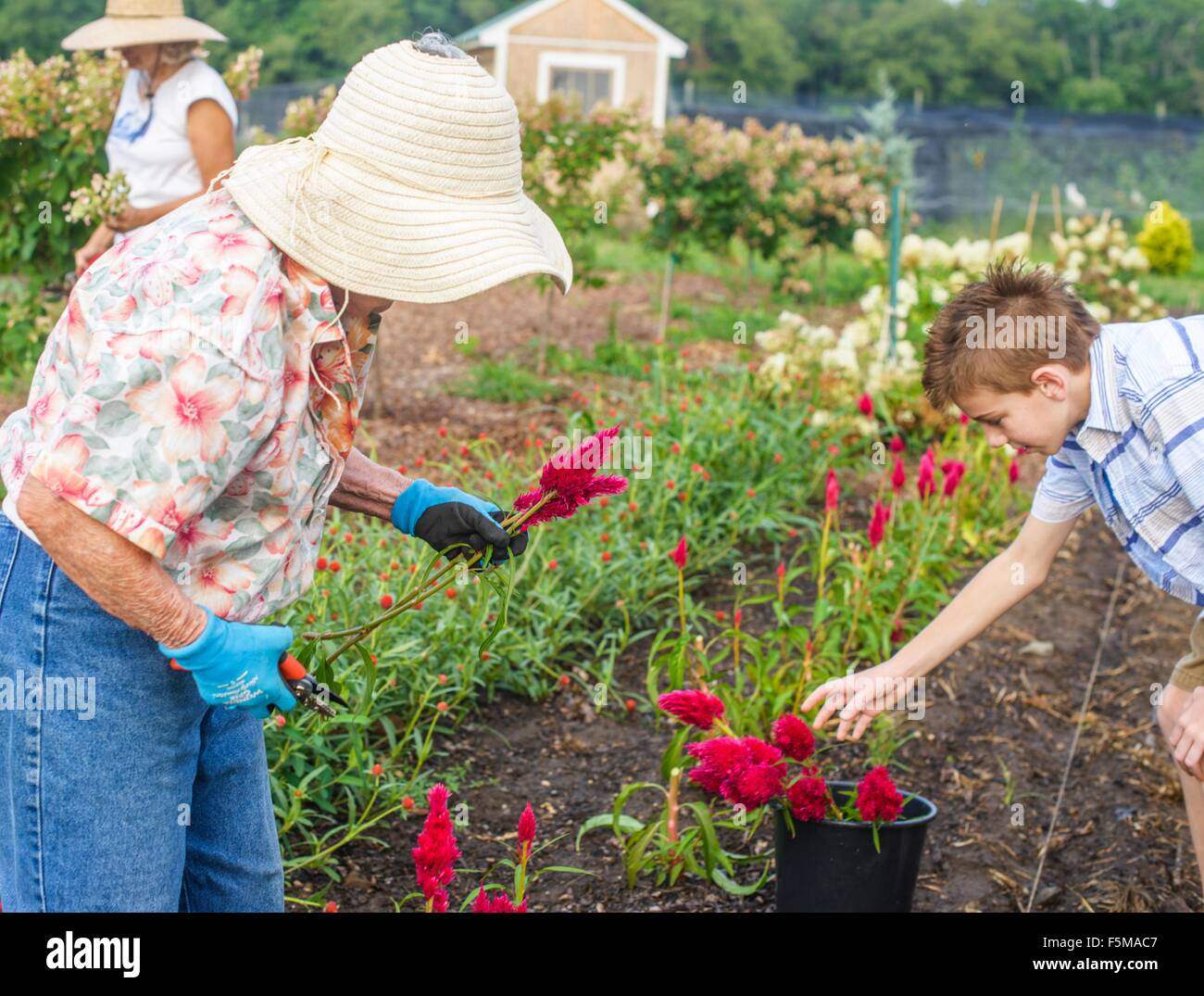 Senior woman and grandson harvesting flowers on farm - Stock Image