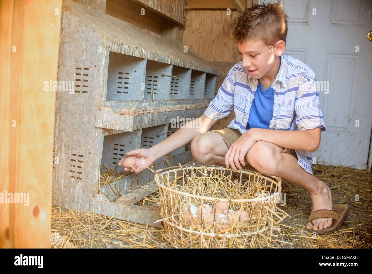 Boy collecting eggs from hen house - Stock Image