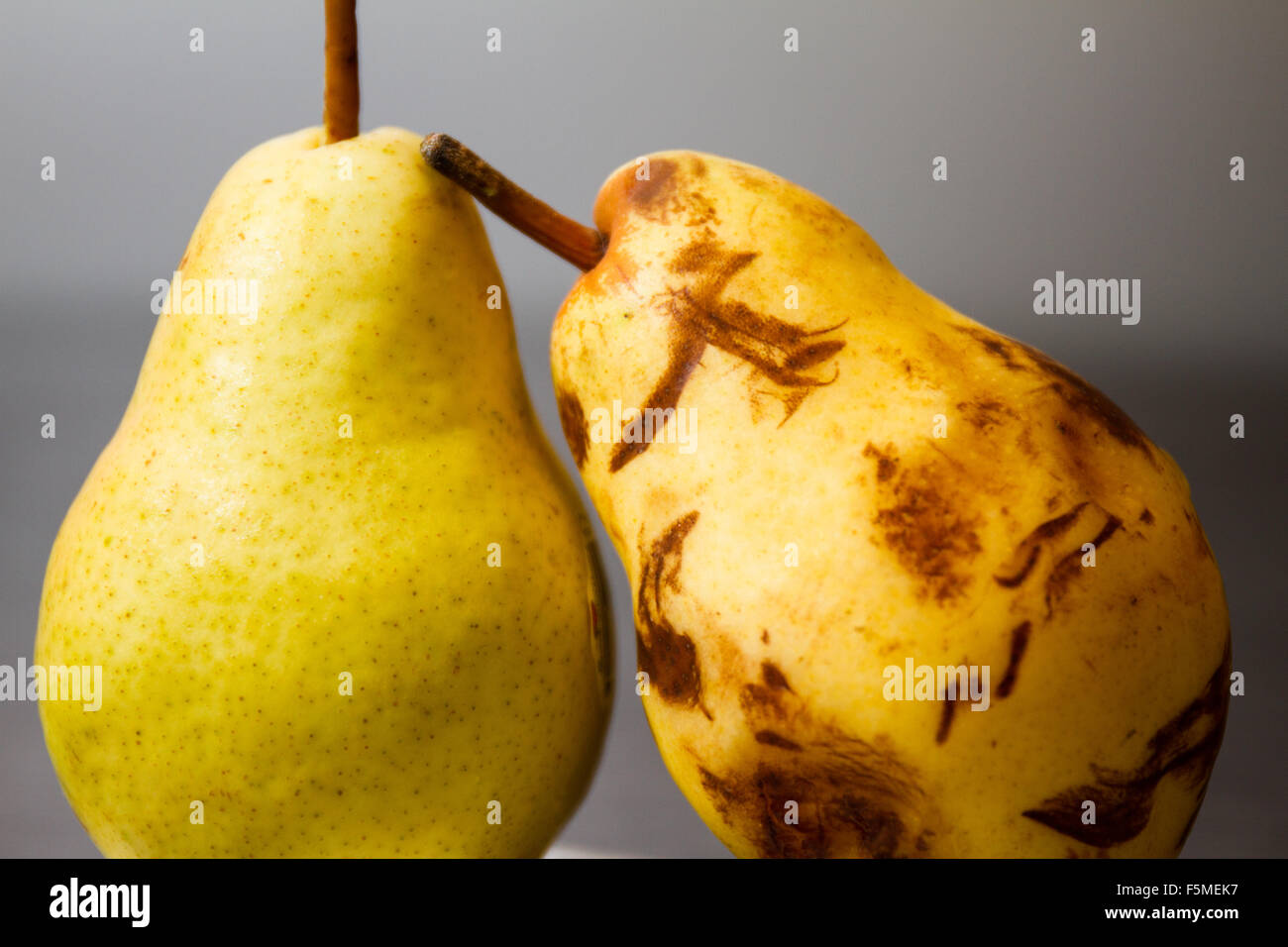 A bruised pear leaning on a ripe, fresh pear. - Stock Image