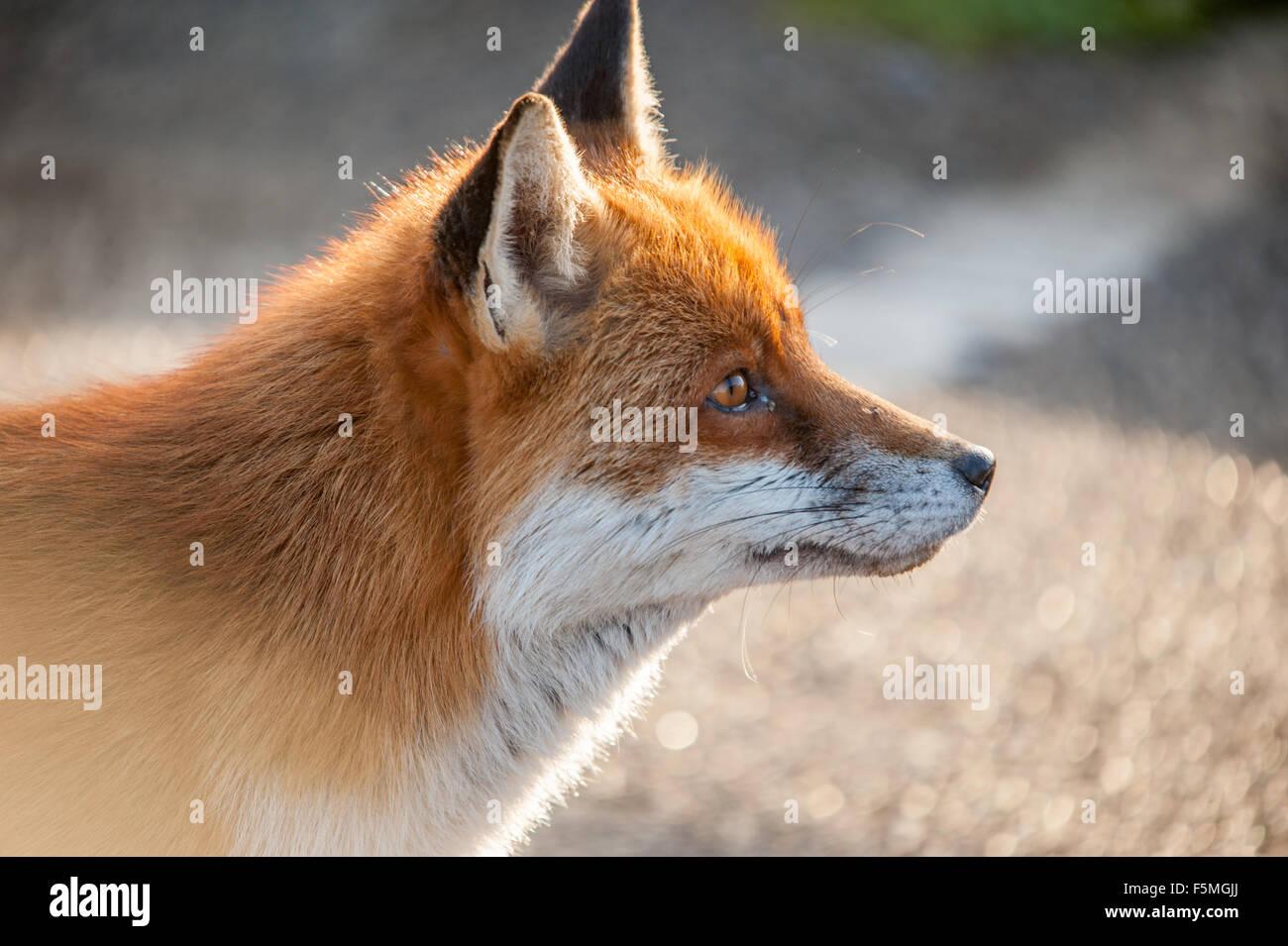 Fox Head Profile Stock Photo Alamy
