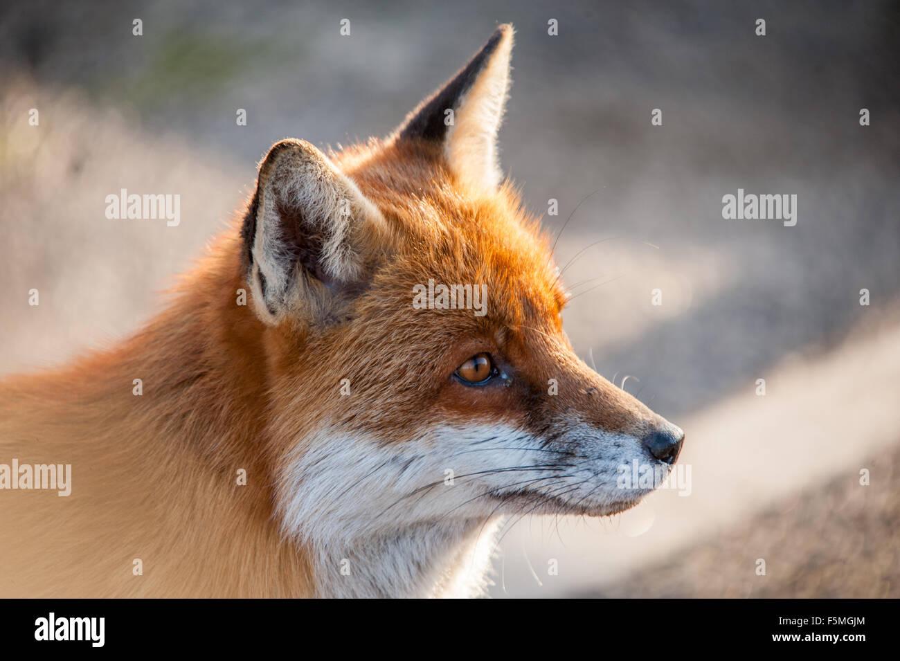 Fox Head Close Up Stock Photo Alamy