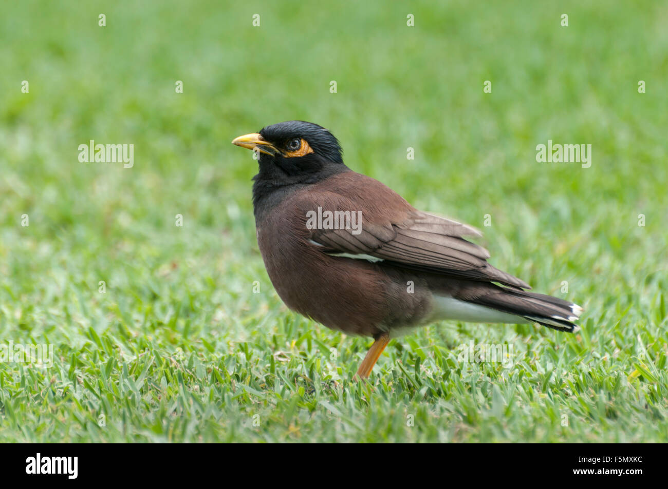 Common Myna Bird (Acridotheres tristis) is a passerine and member of the starling family. A species introduced to - Stock Image