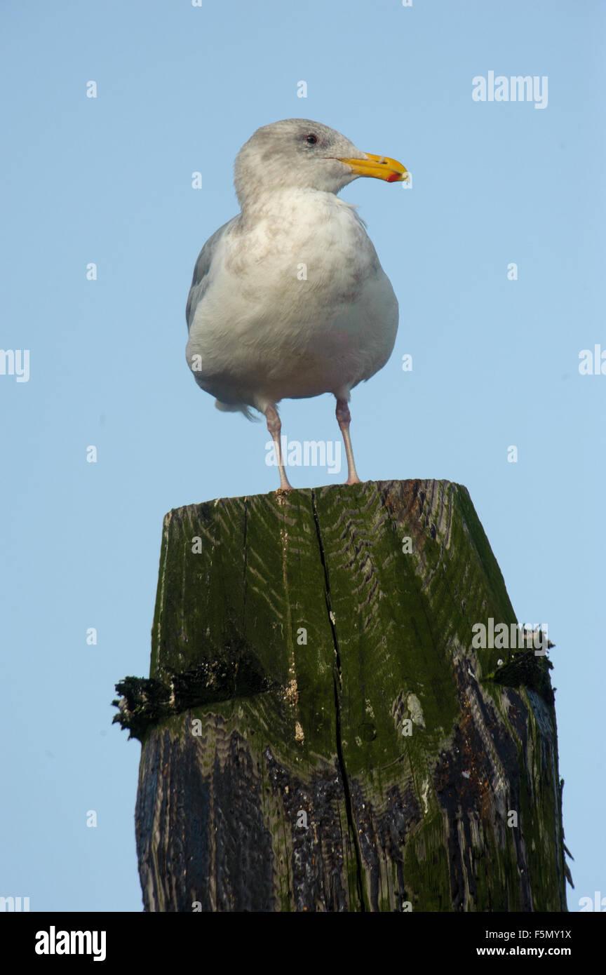 Glaucous-winged Gull (Larus glaucescens), adult winter plumage, Gabriola Island, British Columbia, Canada - Stock Image