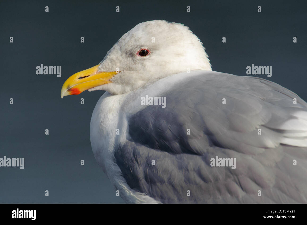 Glaucous-winged Gull (Larus glaucescens), Drumbeg Provincial Park, Gabriola Island , British Columbia, Canada - Stock Image