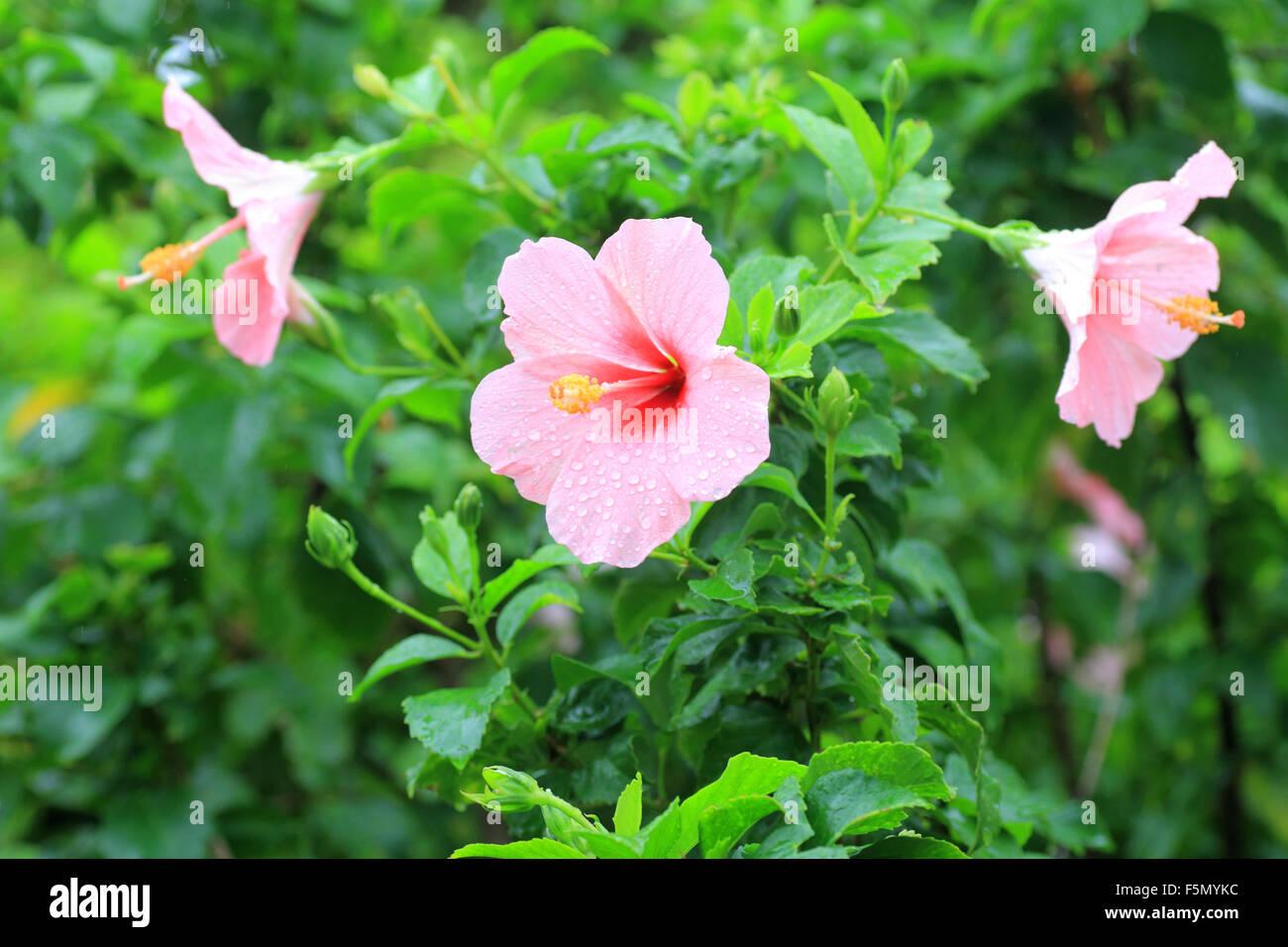 Hibiscus flower in Okinawa, Japan - Stock Image