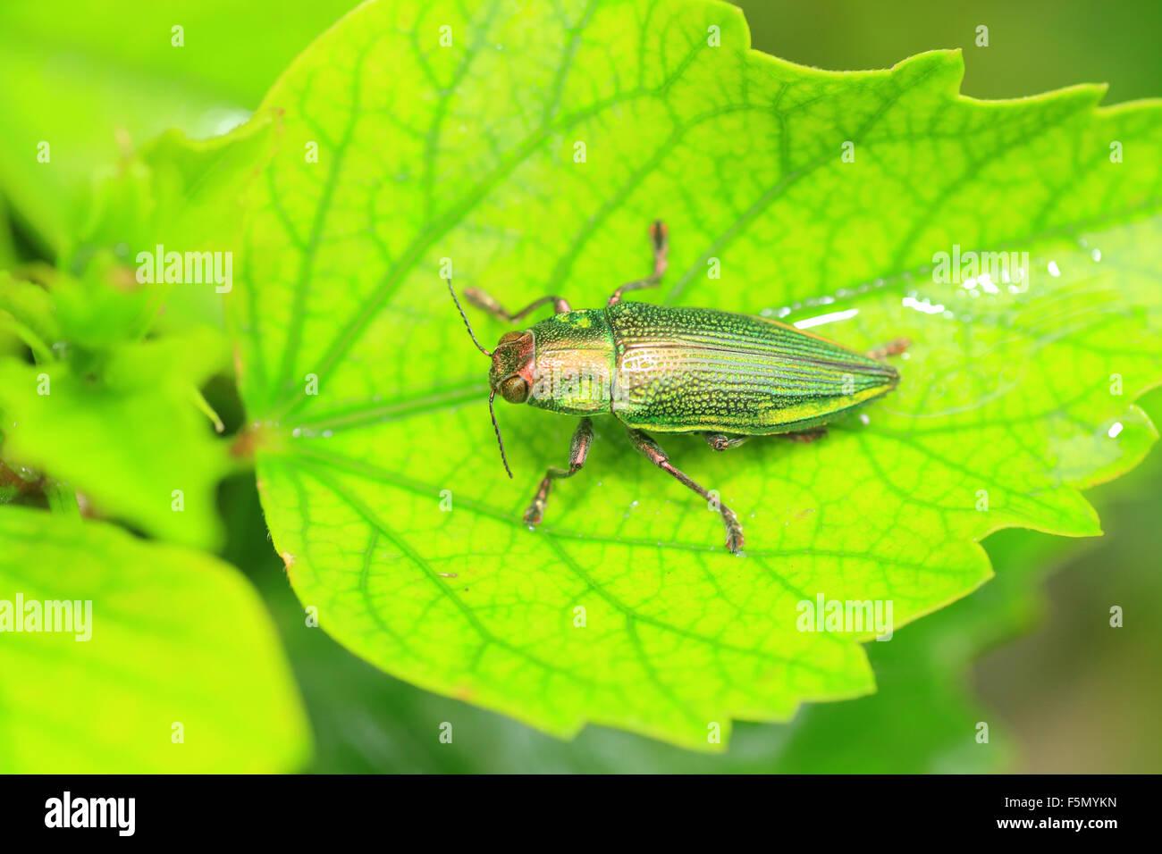 Ryukyu Jewel beetle (Chrysodema dalmanni) in Japan - Stock Image