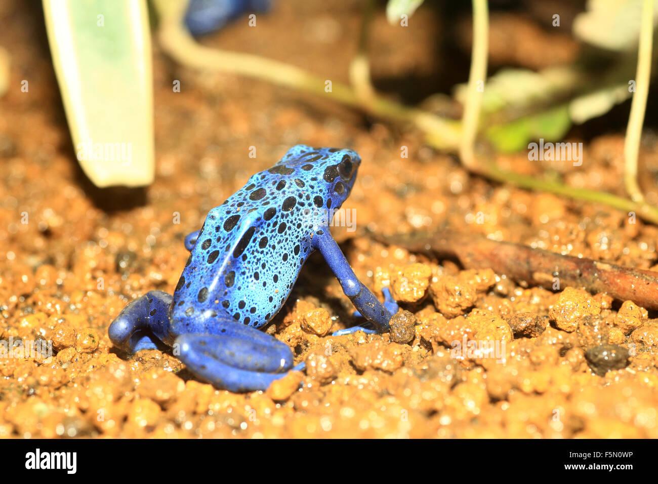 Blue Poison Dart Frog (Dendrobates azureus) in Republiek Suriname - Stock Image