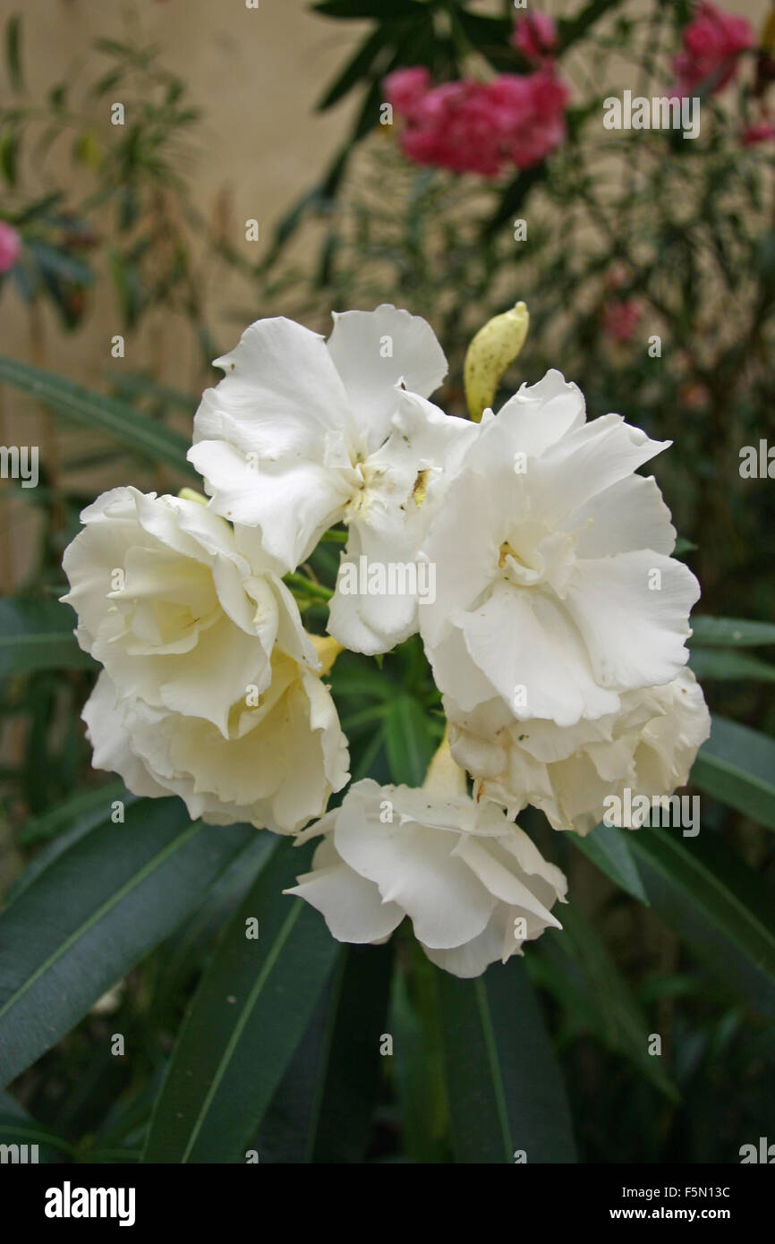 White Oleander Flowers Stock Photo 89586992 Alamy