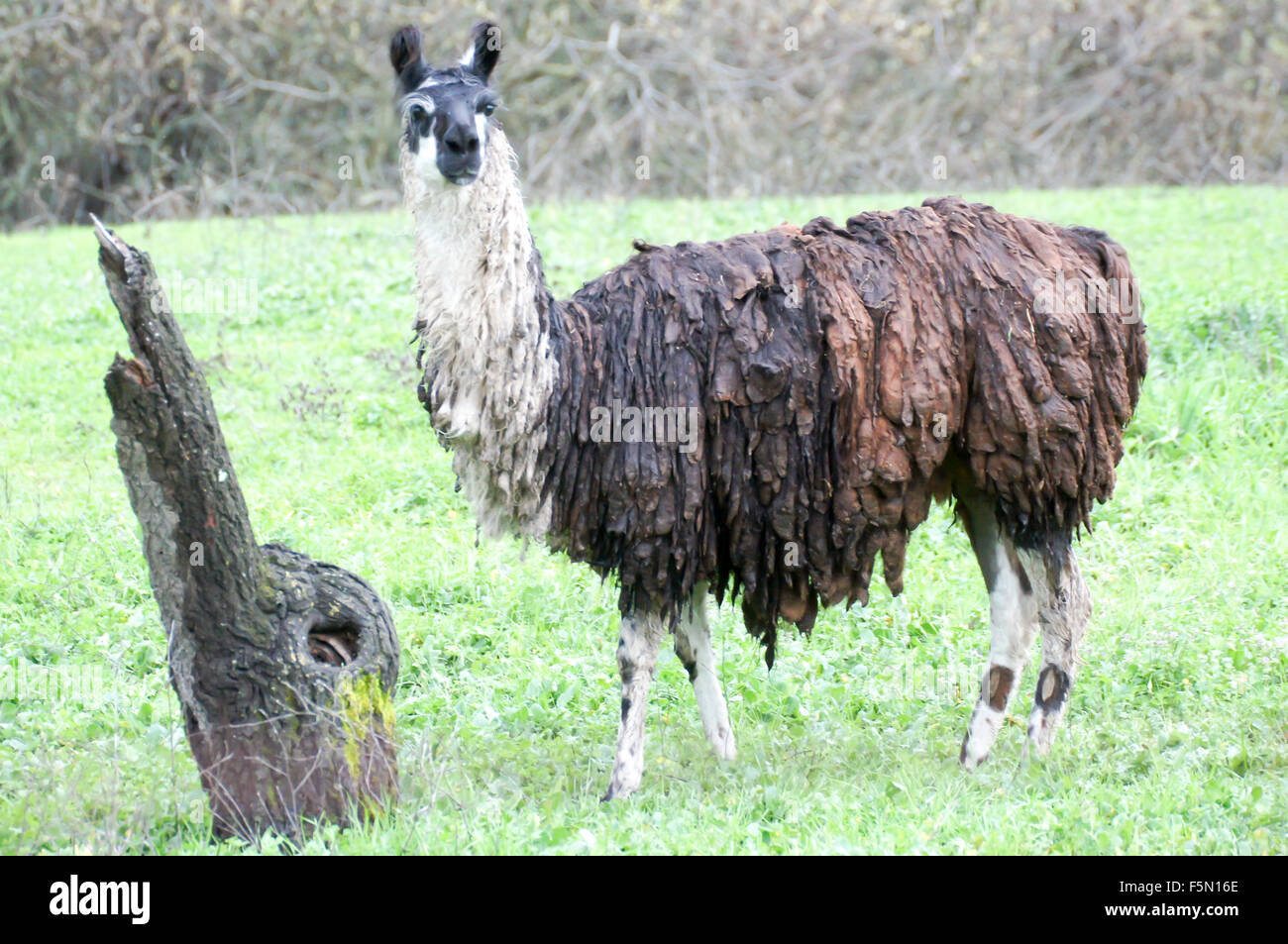Llama (Lama glama) covered in mud grazing in the meadows. - Stock Image