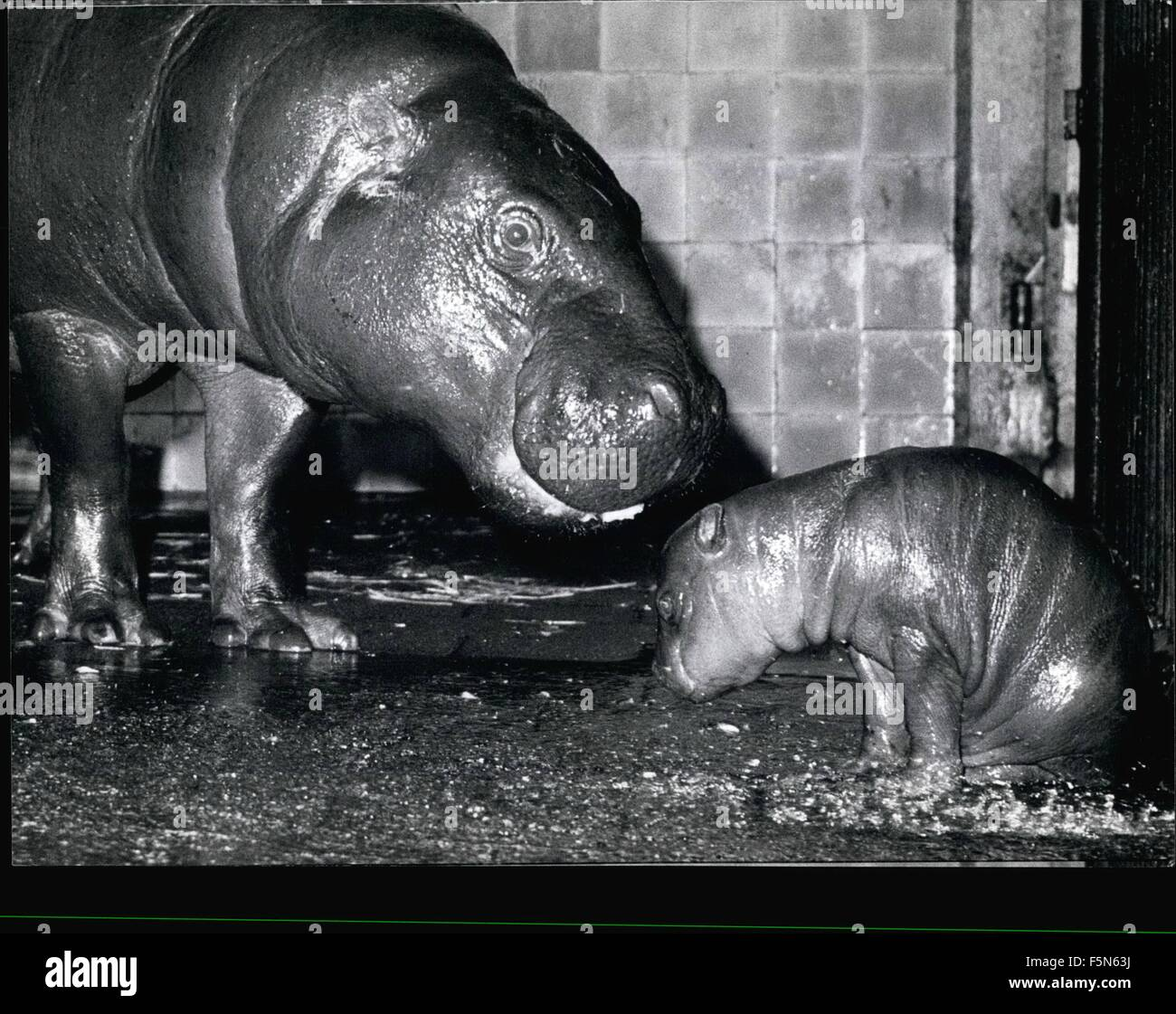 1979 - Young Dwarf-Hippopotamus At The Munich: It looks rather contrite, the new born hippopotamus at the Munich - Stock Image