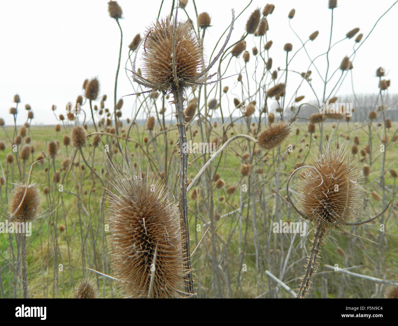 Dry thistle in the field defies the autumn and the coming winter. - Stock Image