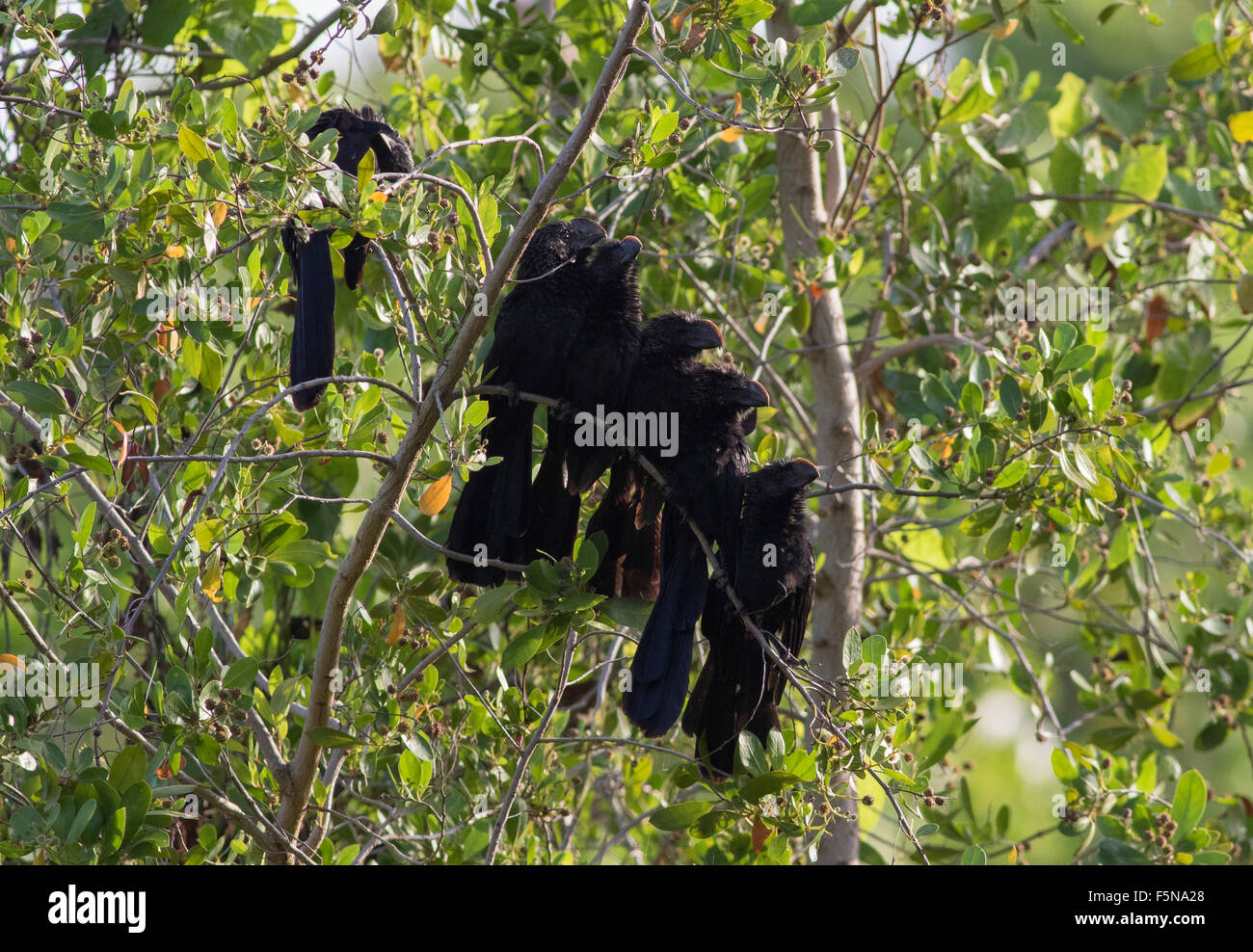 Smooth Billed Ani, mixed group male and female at sunrise - Stock Image