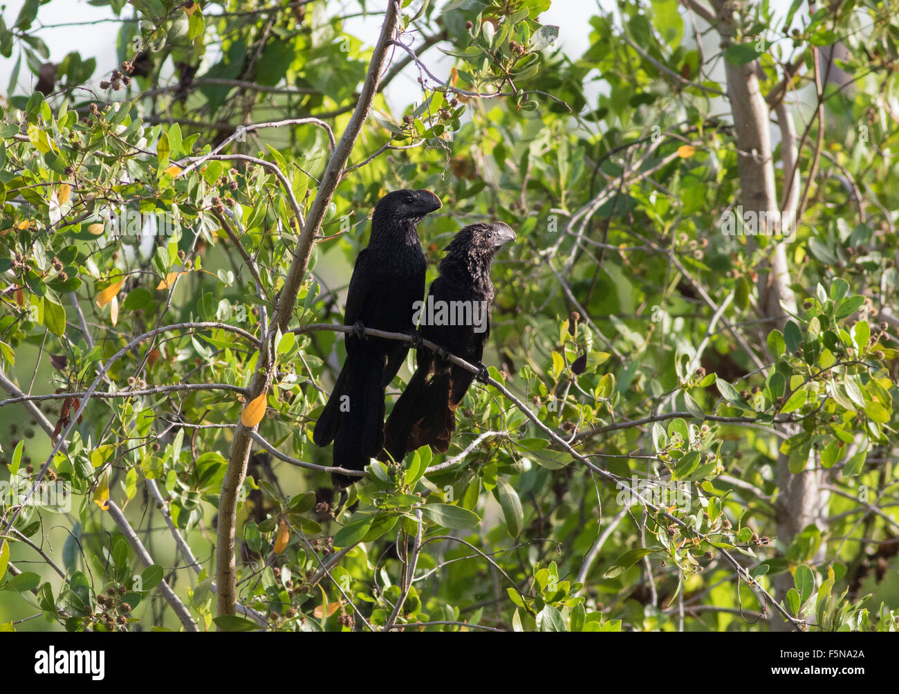 Smooth Billed Ani, male and female at sunrise - Stock Image