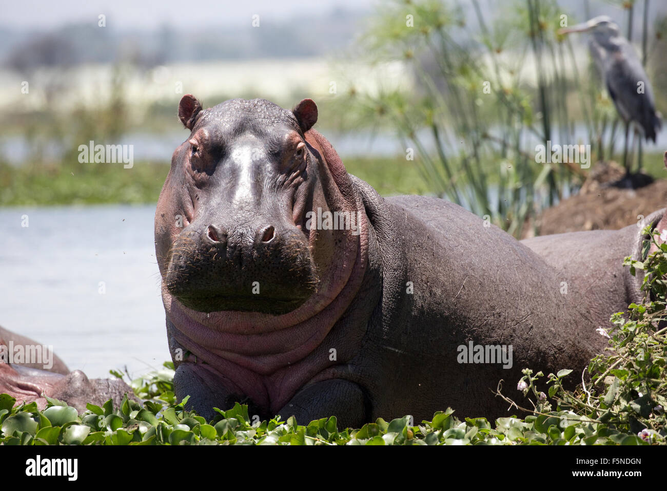 Hippopotamus amphibius half out of water looking over water hyacinth Lake Naivasha Kenya - Stock Image