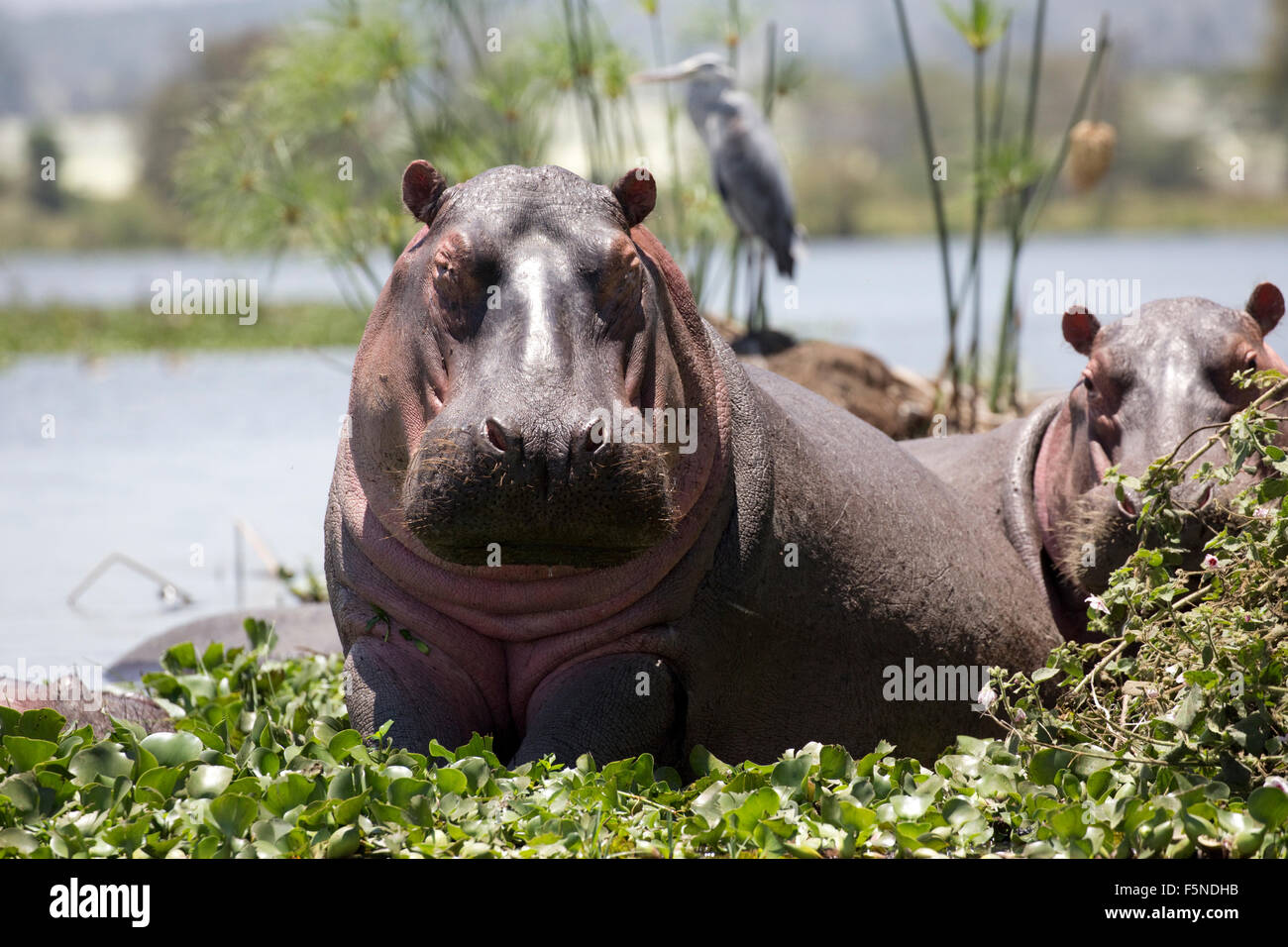 Hippopotamus amphibius half out of water surrounded by water hyacinth  with grey heron behind Lake Naivasha Kenya - Stock Image