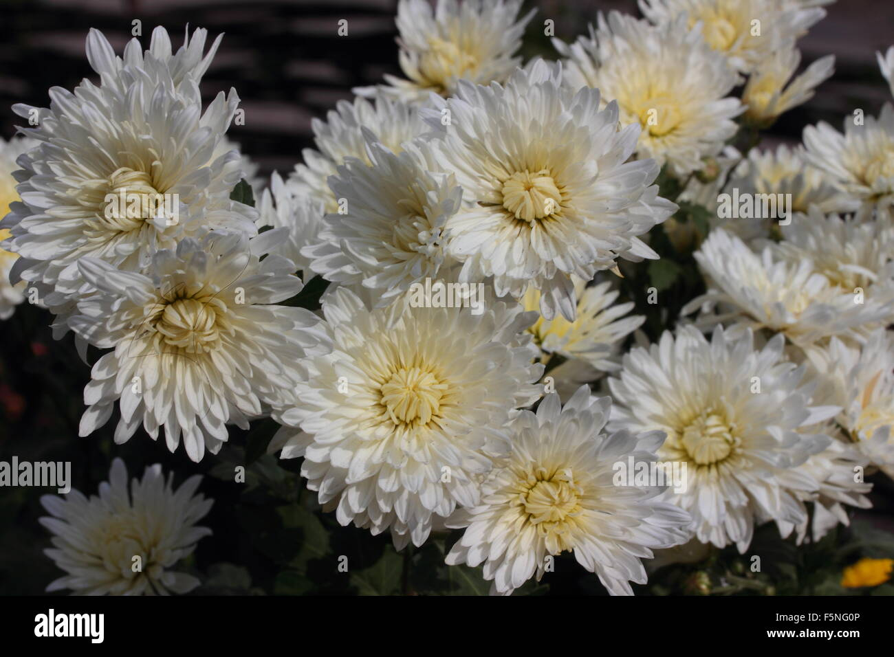 Chrysanthemum White Stock Photos Chrysanthemum White Stock Images