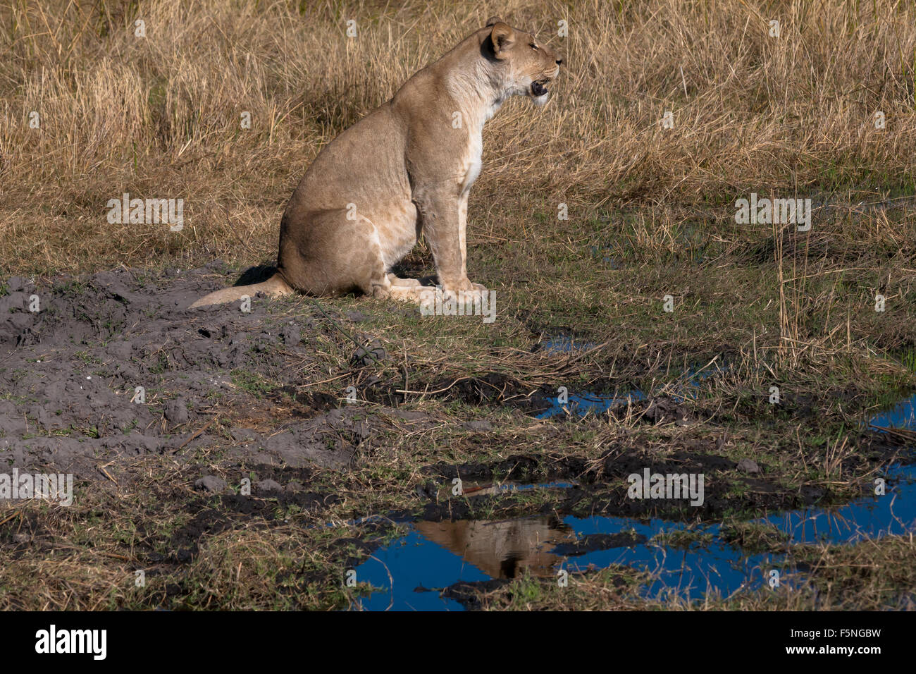 Lioness, Chobe national park reserve, Botswana Stock Photo