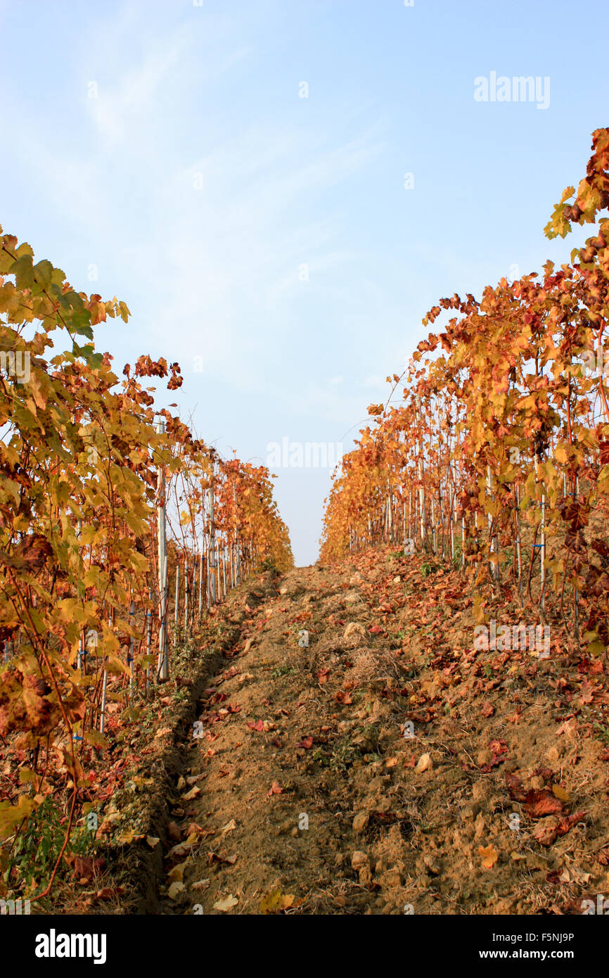autumn colors in the wineyard - Stock Image
