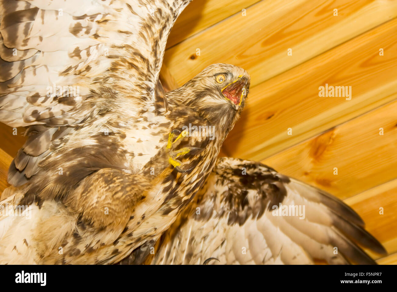 Home Of The Hawk Stock Photos Home Of The Hawk Stock Images Alamy