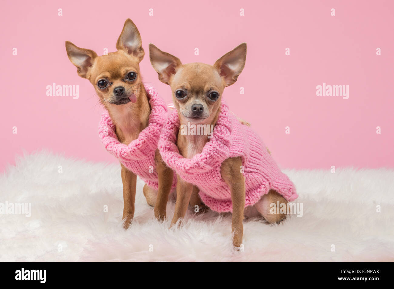 Cute chihuahua dogs with pink knitted sweaters on a pink background - Stock Image