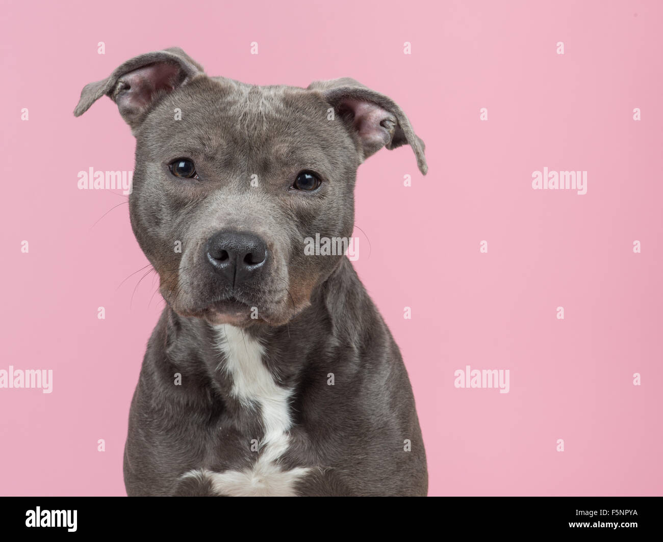Cute pitbull dog on pink background - Stock Image