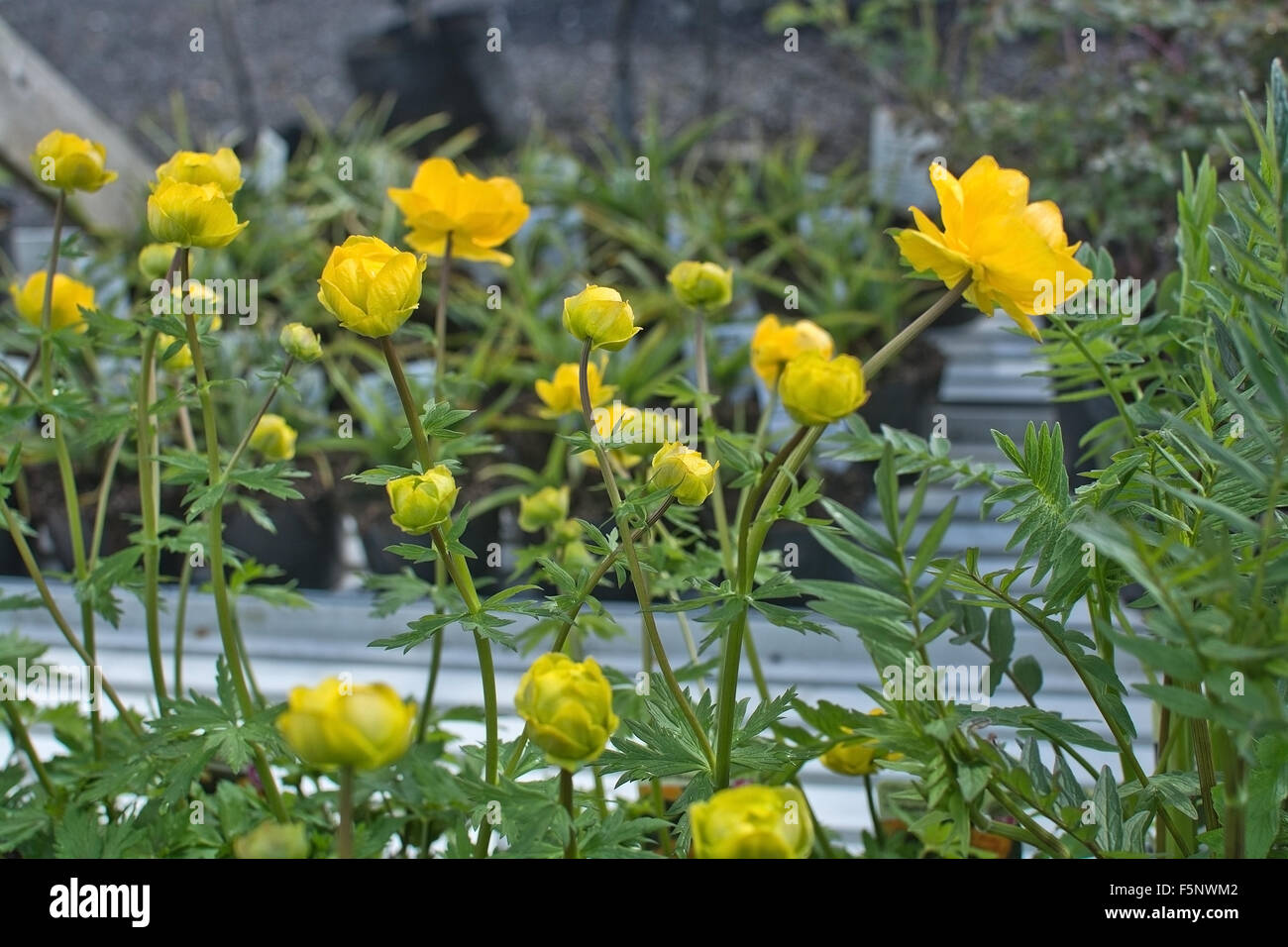 Yellow butter ball flowers and buds in may stock photo 89606274 alamy yellow butter ball flowers and buds in may mightylinksfo