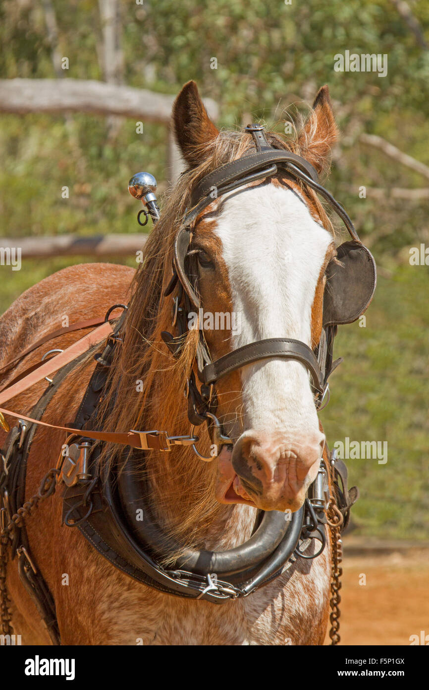 Draught horse, Suffolk Punch, chestnut with white blaze, wearing harness with collar and blinkers - Stock Image
