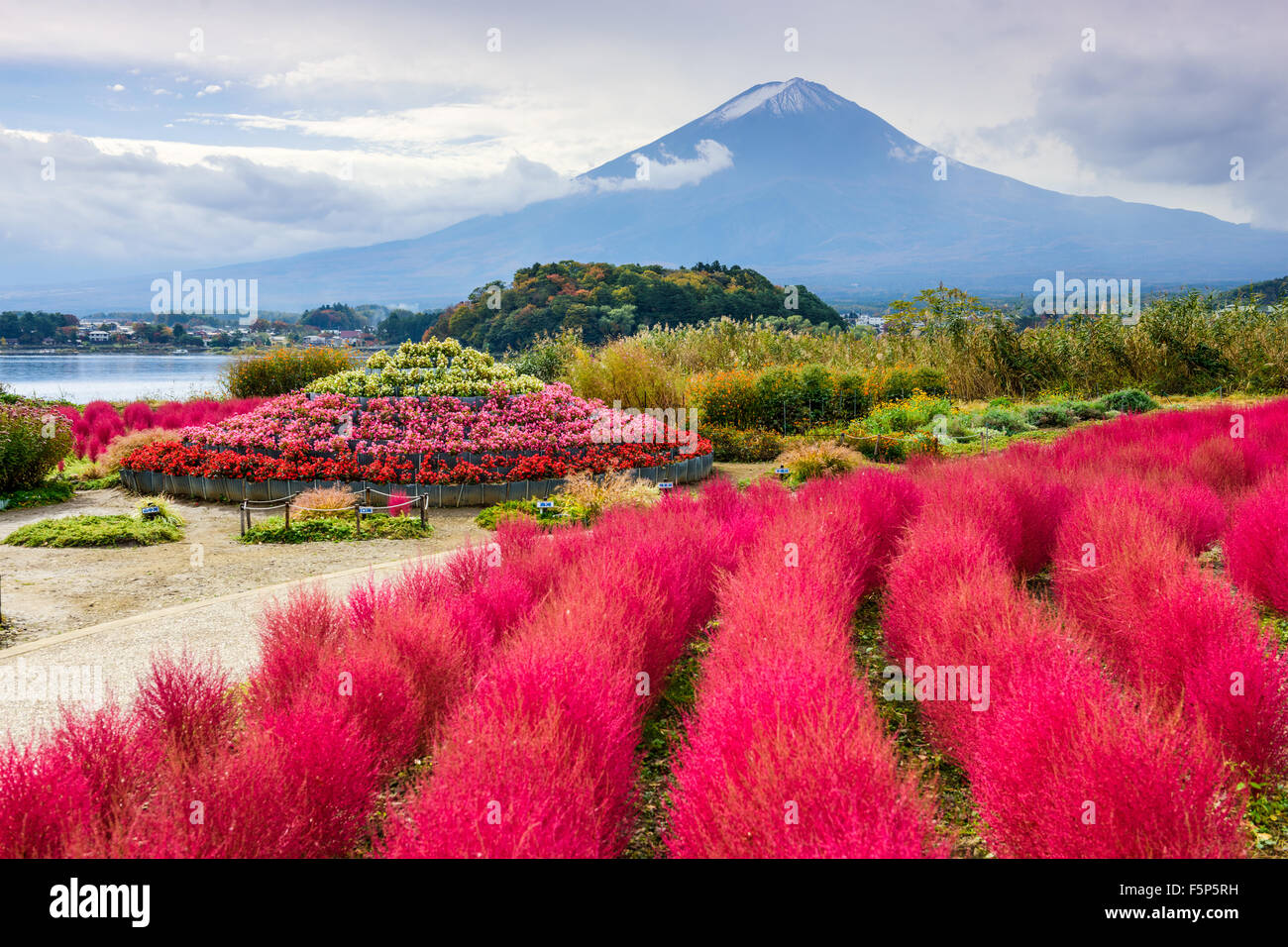 Fuji Mountain, Japan with kokia bushes at Oishi Park. - Stock Image