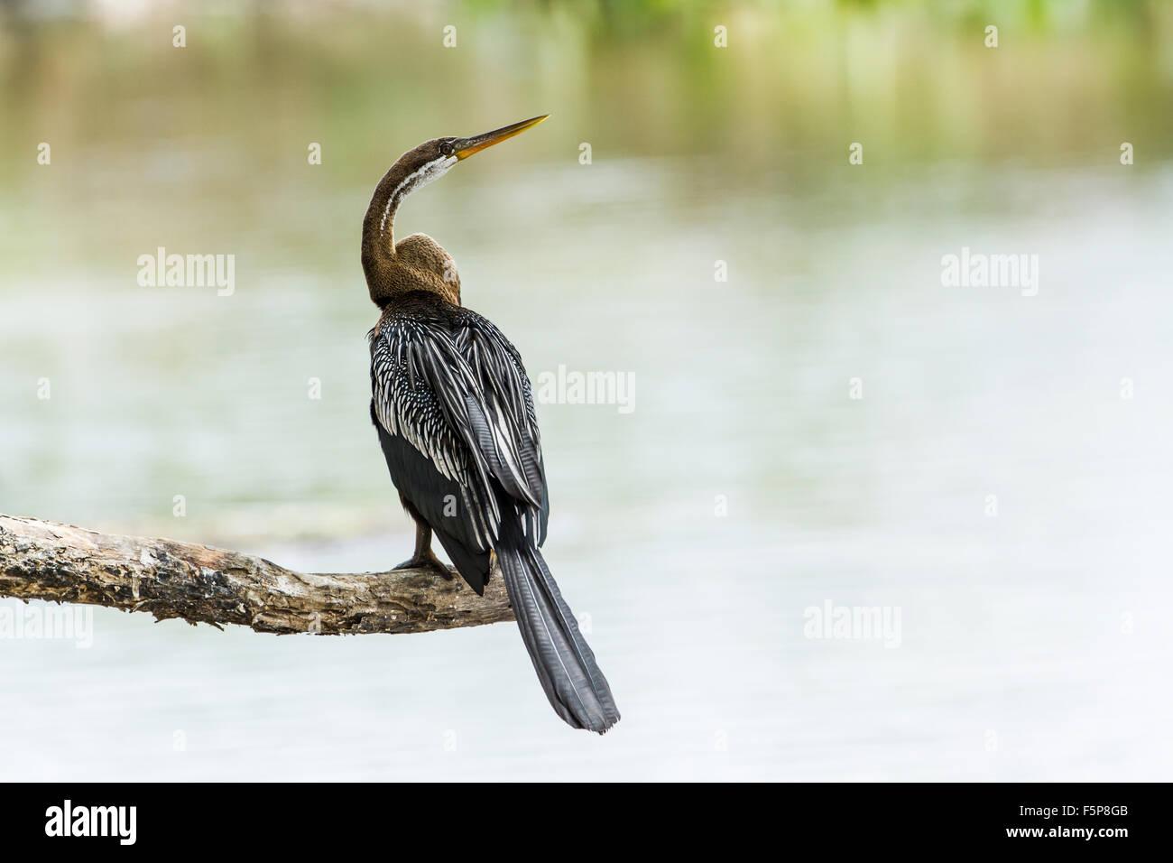 Oriental darter Specie Anhinga melanogaster - Stock Image