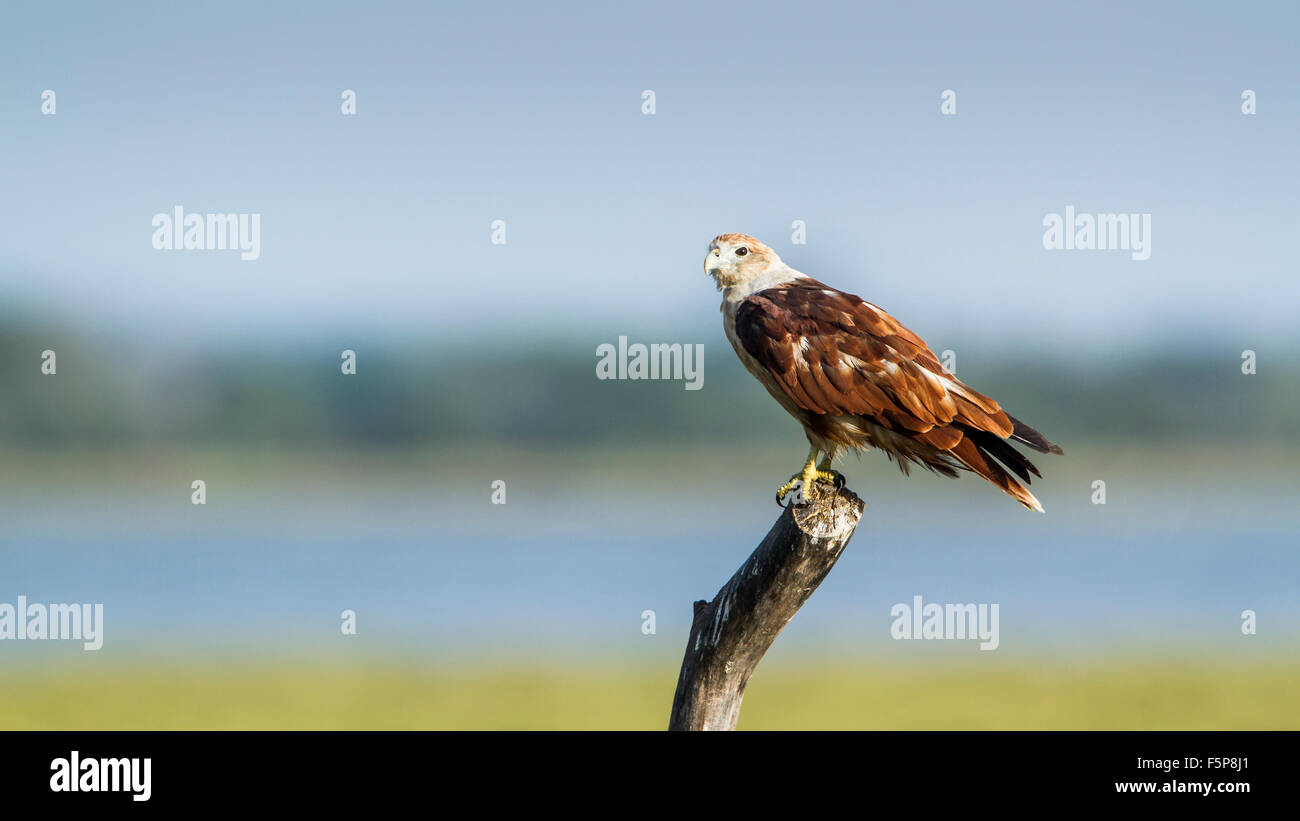 Brahminy kite specie Haliastur indus in Pottuvil nature reserve - Stock Image
