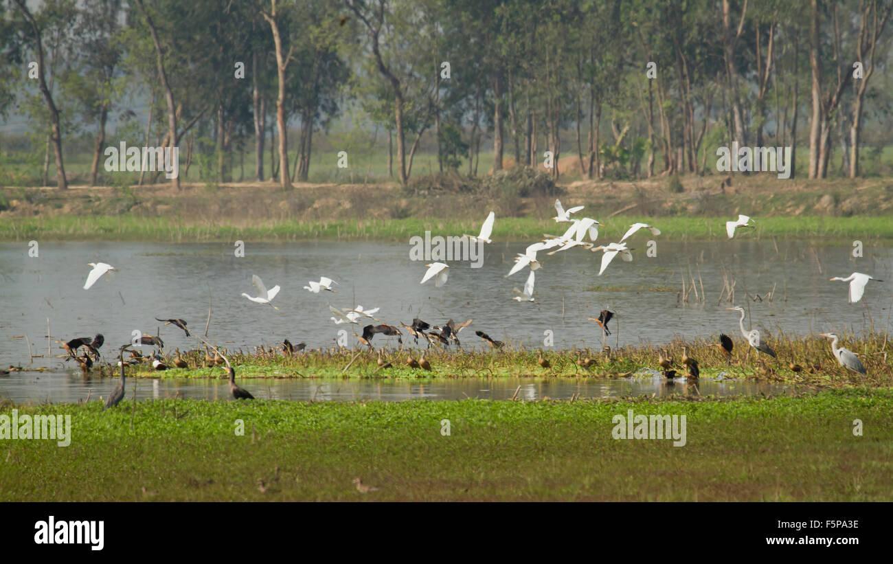 Flight of water bird in nature reserve of Nepal - Stock Image