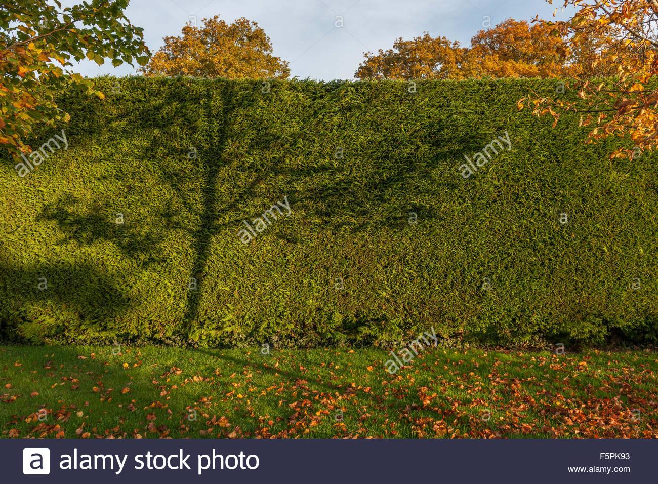Leylandii hedge - Stock Image