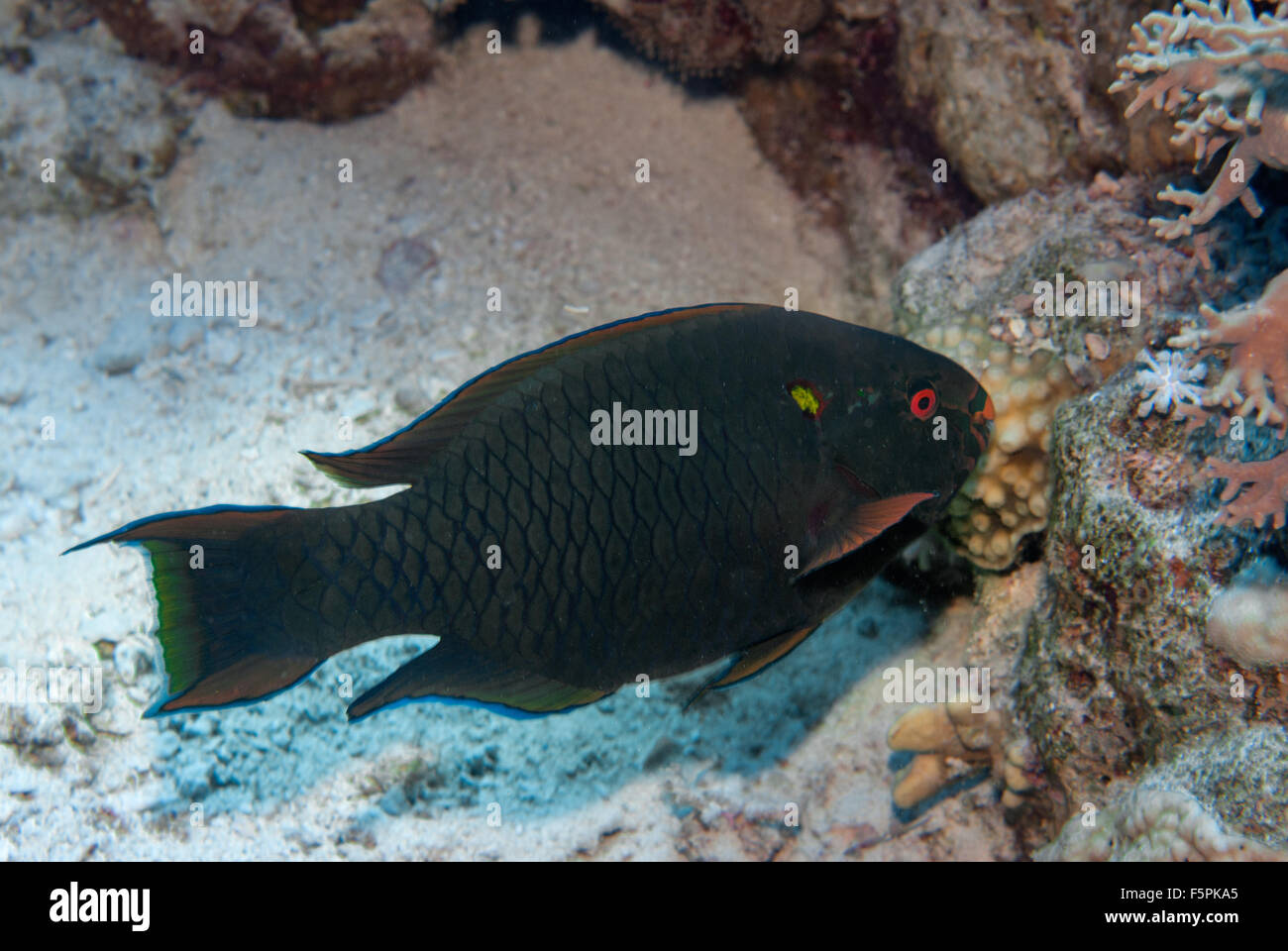 Swarty parrotfish, Scarus niger, Scaridae, Sharm el Sheikh, Red Sea, Egypt - Stock Image