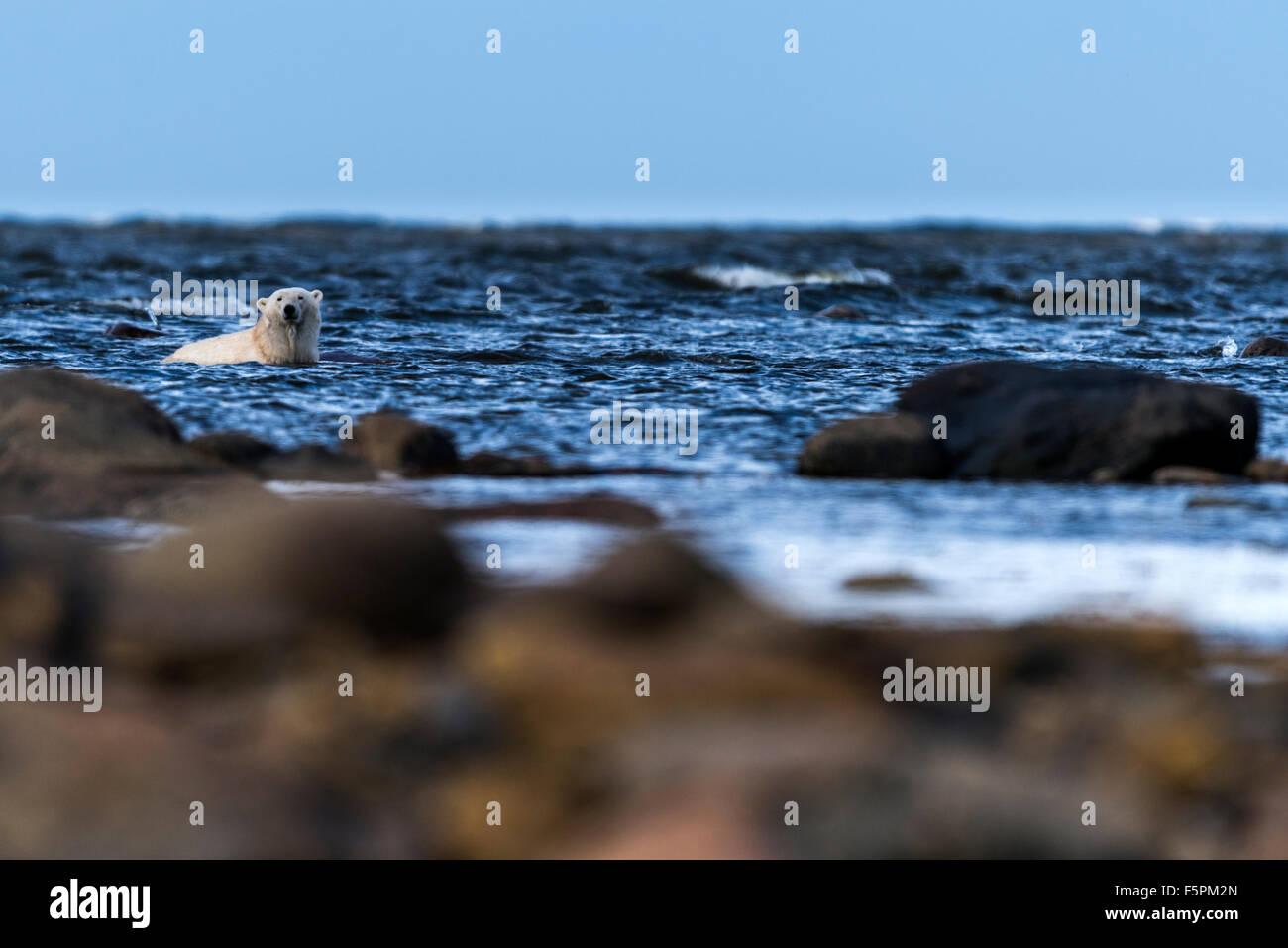 Polar Bear adult (Ursus maritimus) relaxing in sea water Churchill, Manitoba, Canada - Stock Image