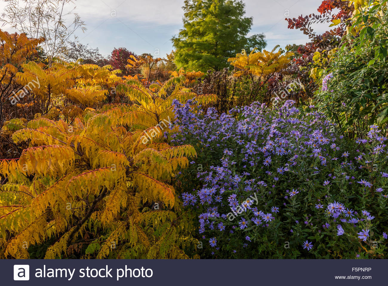 Rhus typhina 'Dissecta' cut-leaved stag's horn sumac - Stock Image