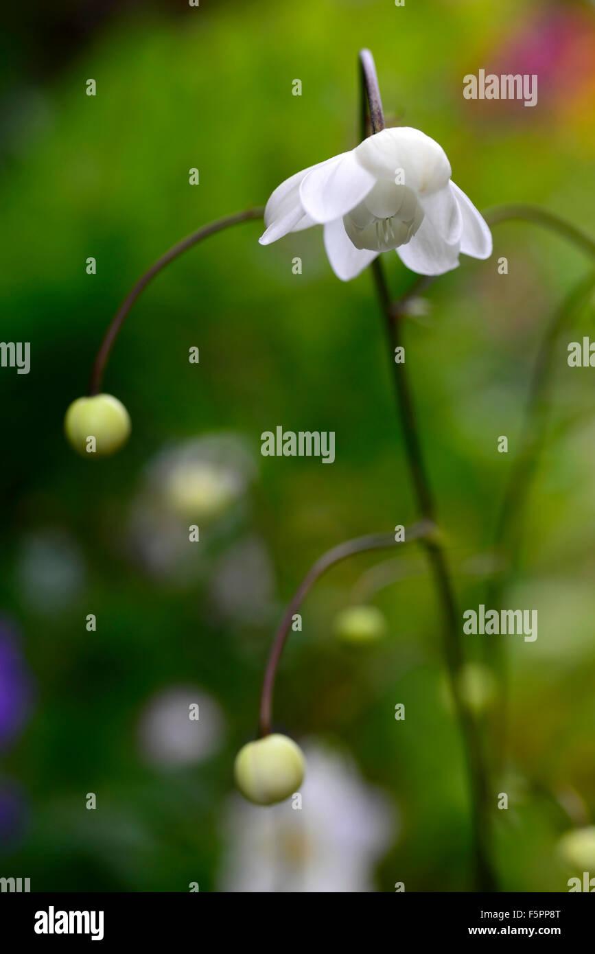 Anemonopsis Macrophylla Alba White Flower Flowers Rare Woodland