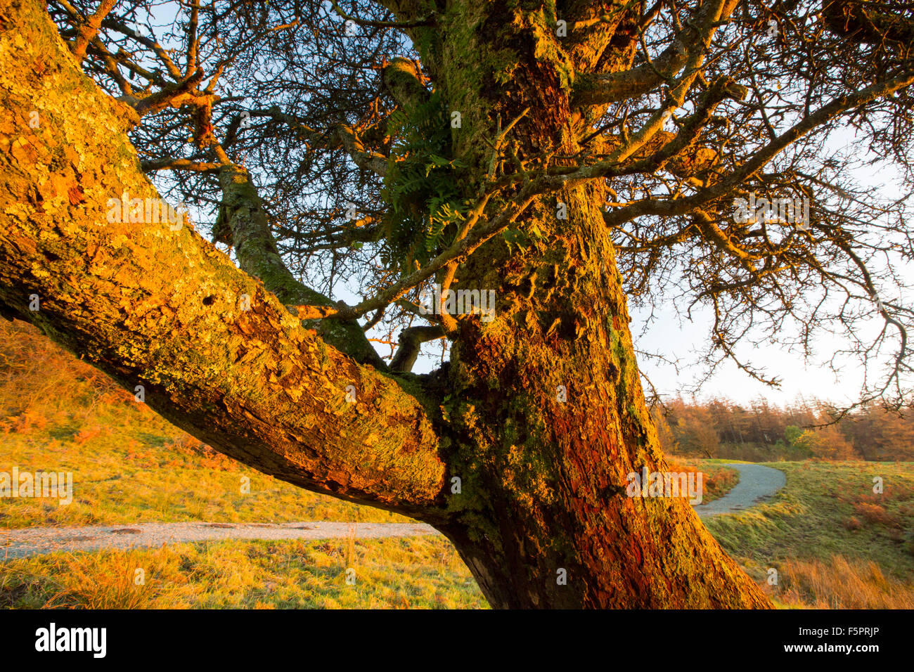 A Hawthorn Tree near Hawkshead in the Lake District in the Autumn time at sunset. - Stock Image
