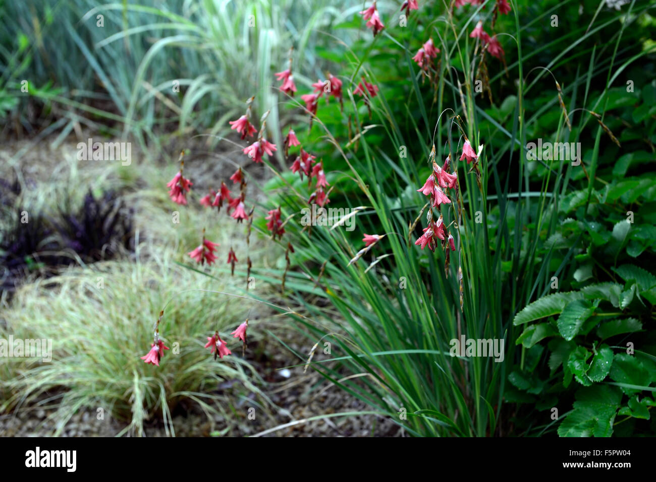 Dierama pulcherrimum red flowers flower perennials cascading arching dierama pulcherrimum red flowers flower perennials cascading arching dangly dangling hanging bell angels fishing rods rm floral mightylinksfo