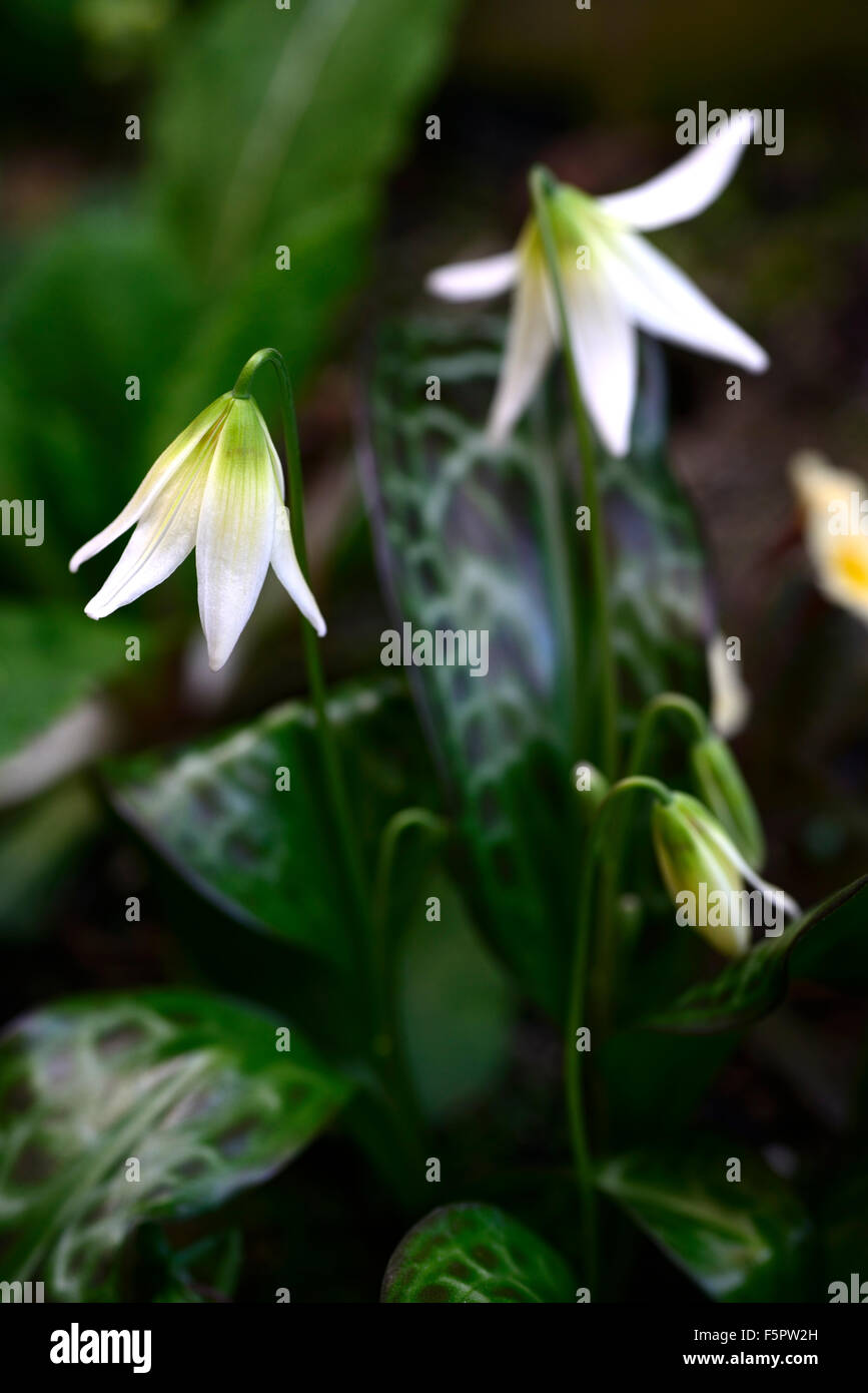 erythronium Sheer delight fawn lily dogstooth violet spring white flowers flowering clump colors colours dogs tooth - Stock Image
