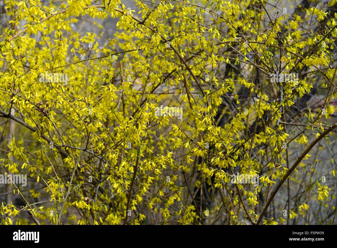 forsythia suspensa vahl weeping forsythia golden-bell yellow flower flowers flowering tree shrub RM Floral - Stock Image